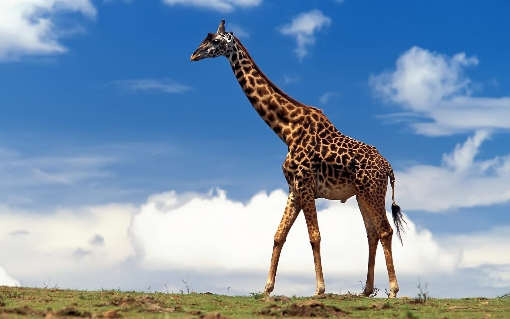 27952 download wallpaper Animals, Giraffes screensavers and pictures for free