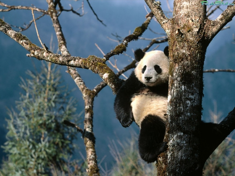 32813 download wallpaper Animals, Pandas screensavers and pictures for free