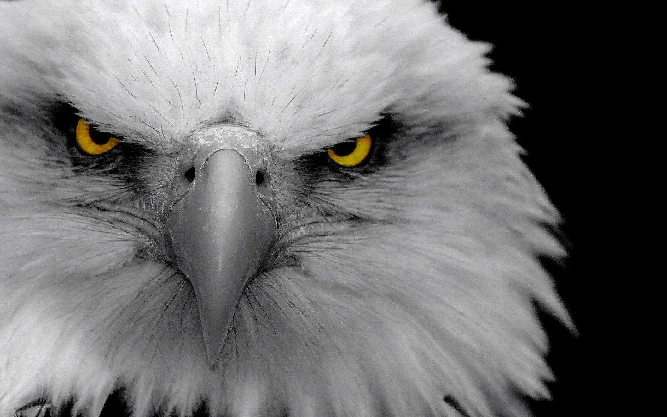 72229 descargar fondo de pantalla Animales, Águila, Pájaro, Depredador, Pico: protectores de pantalla e imágenes gratis