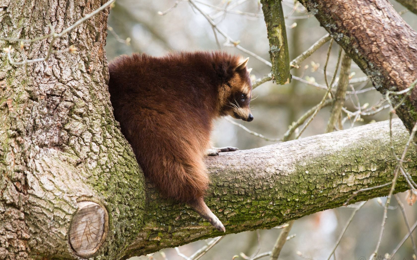 130660 Screensavers and Wallpapers Raccoon for phone. Download Animals, Wood, Tree, Branch, Fat, Thick, Raccoon pictures for free