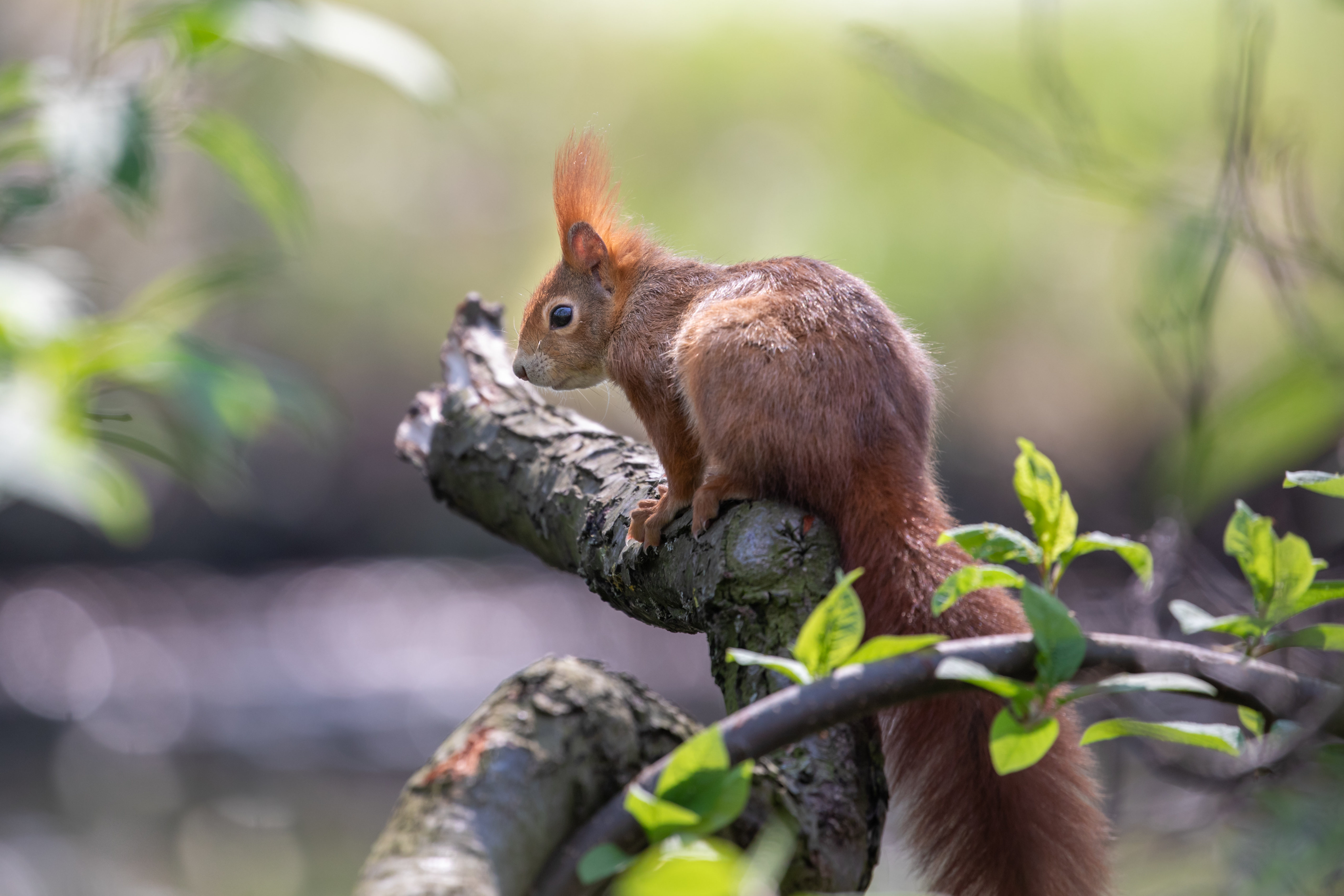 152622 download wallpaper Animals, Squirrel, Animal, Rodent, Wood, Tree screensavers and pictures for free