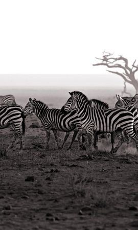45769 baixar papel de parede Animais, Paisagem, Zebra - protetores de tela e imagens gratuitamente