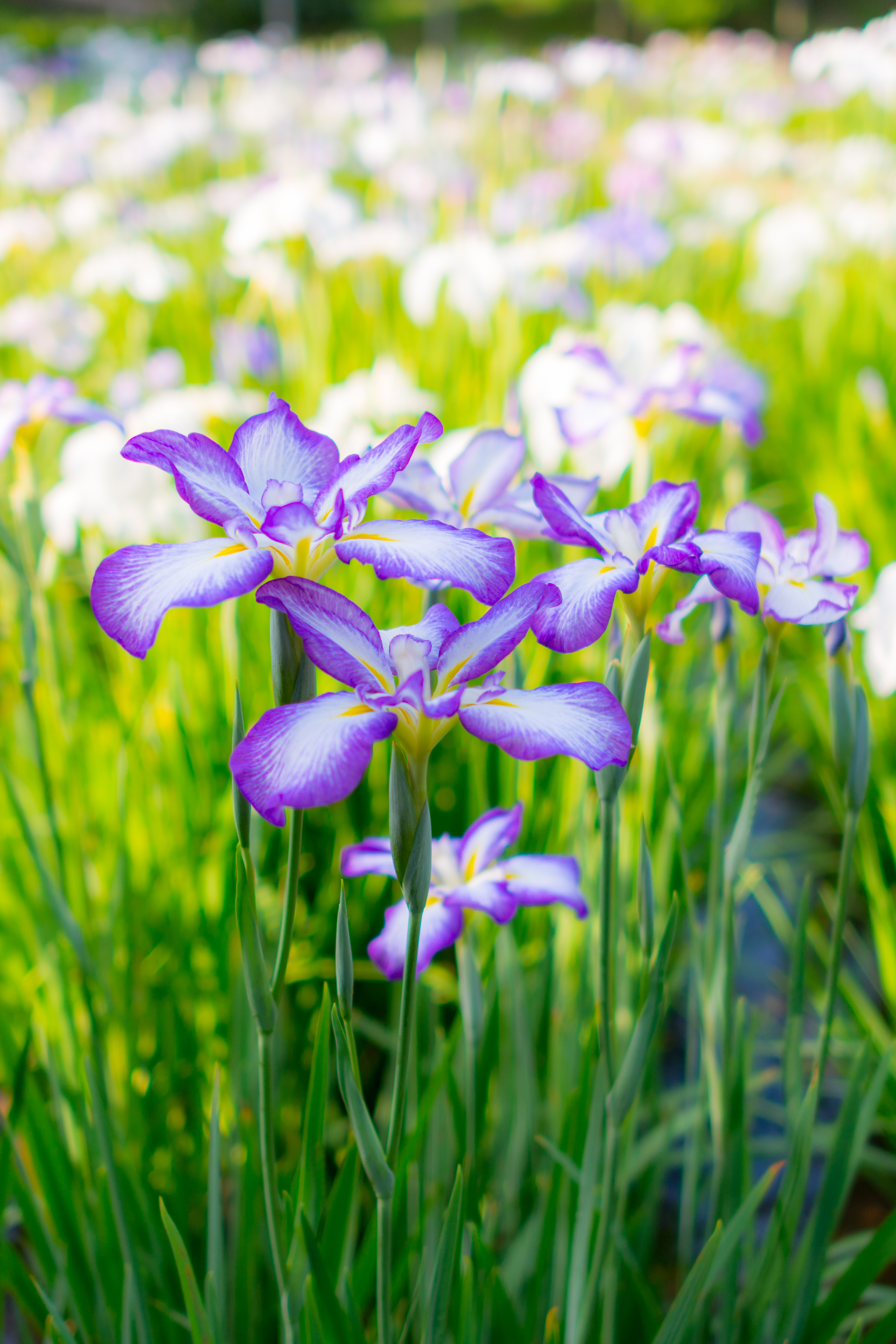 121586 Screensavers and Wallpapers Flower Bed for phone. Download Flowers, Summer, Bloom, Flowering, Flower Bed, Flowerbed, Irises pictures for free