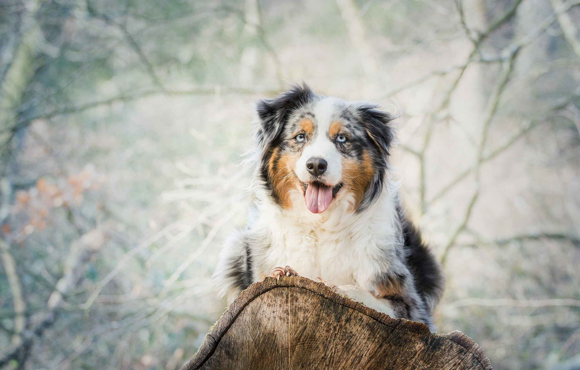 51577 download wallpaper Animals, Australian Shepherd, Aussie, Dog, Spotted, Spotty, Lies screensavers and pictures for free
