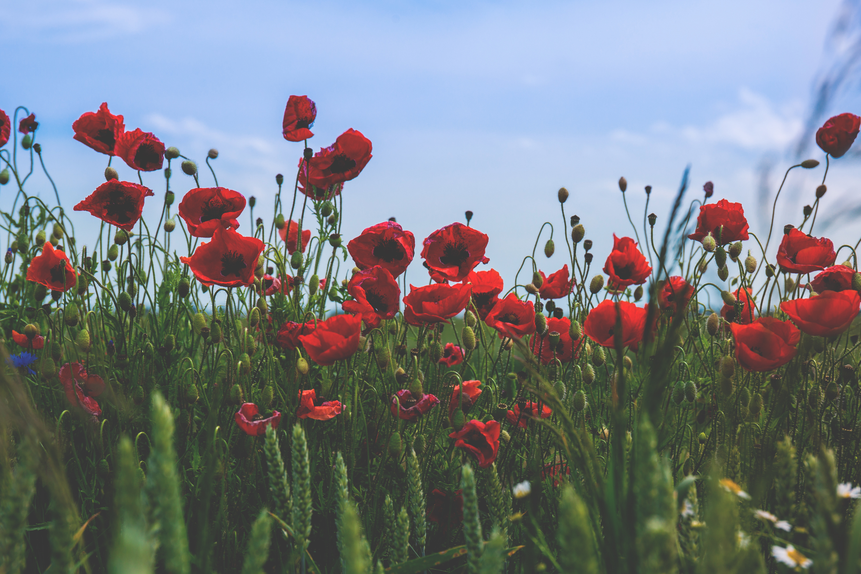 113989 скачать обои Цветы, Маки, Поле, Цветение, Красный - заставки и картинки бесплатно