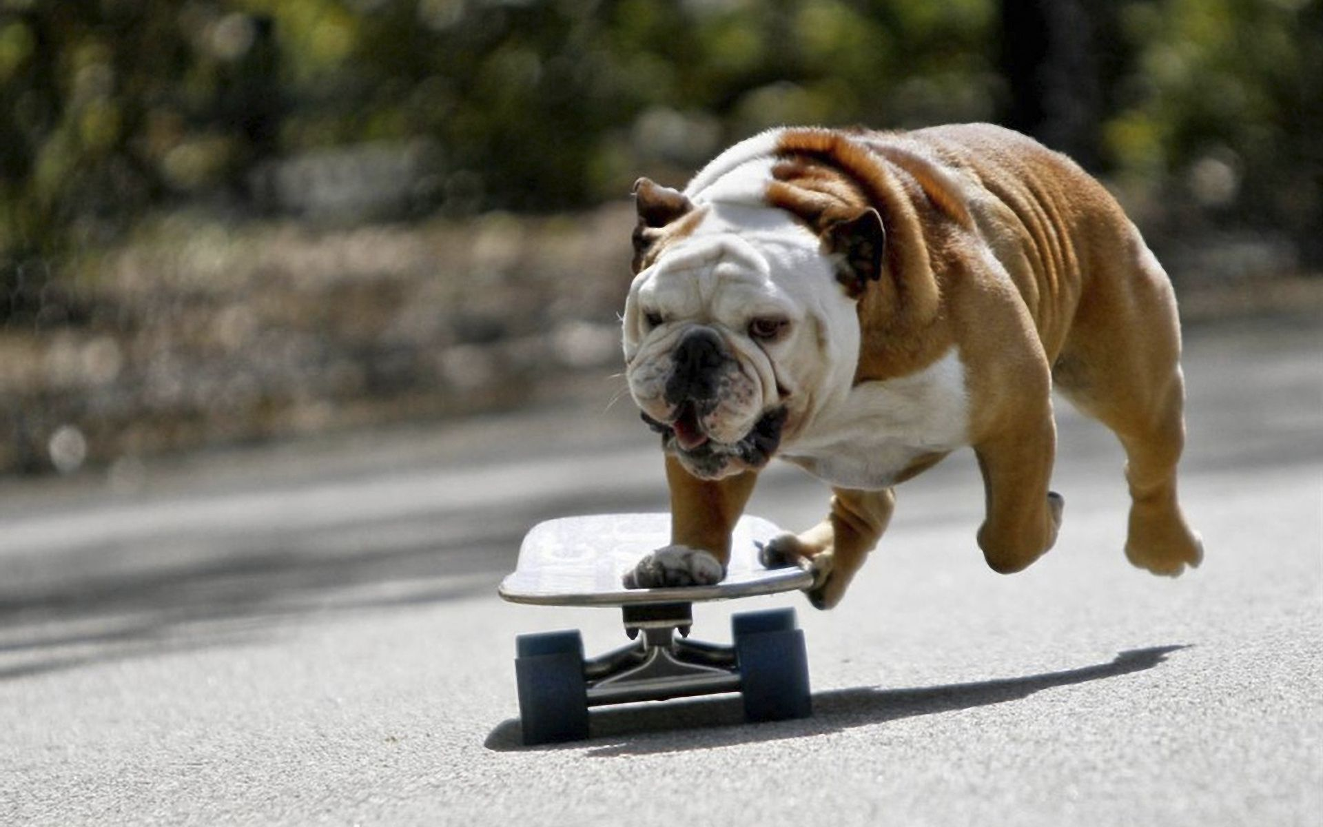 151299 download wallpaper Animals, Dog, Bulldog, Skate, Ride screensavers and pictures for free