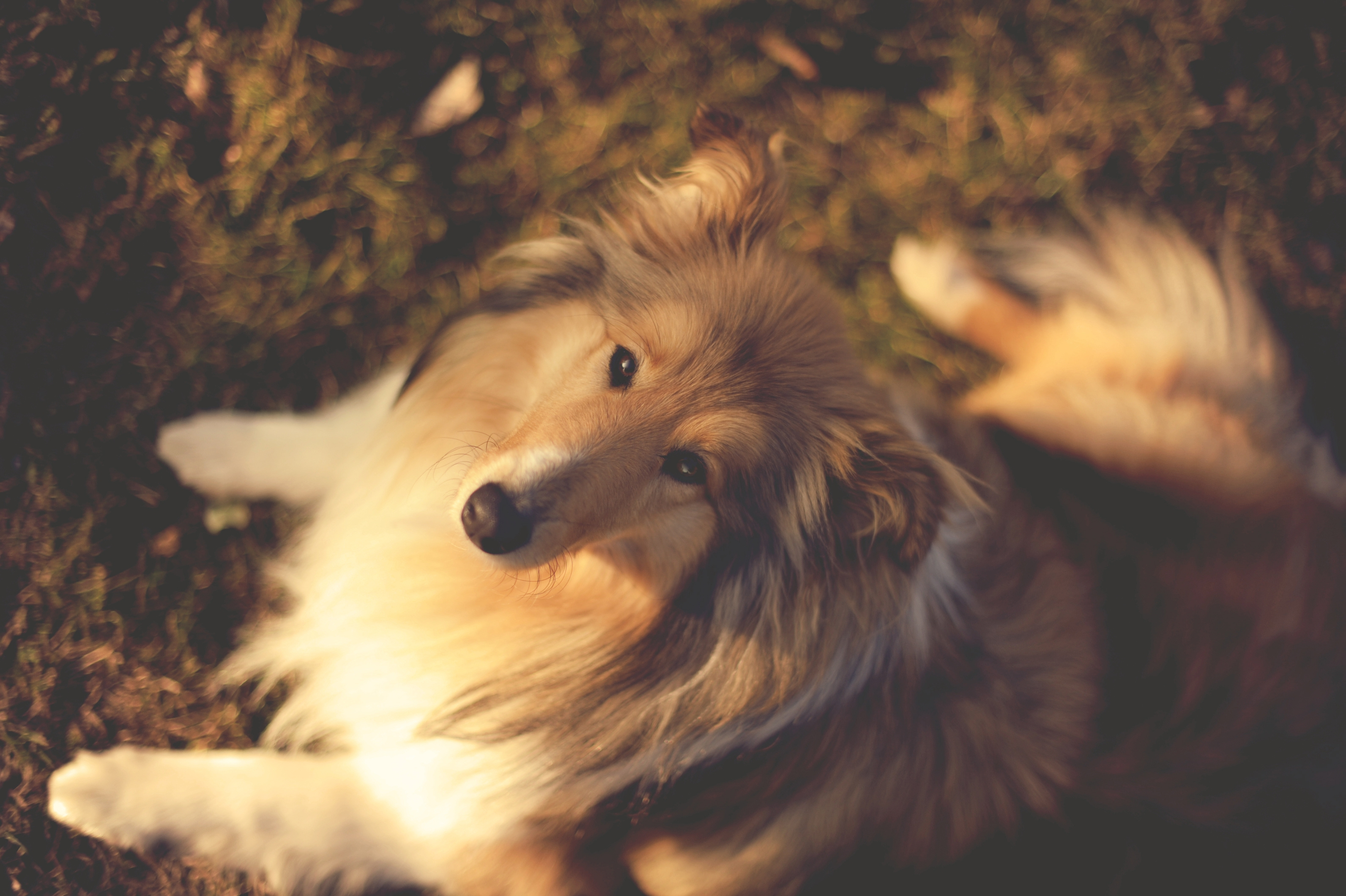 107122 download wallpaper Animals, Nature, Collie, Muzzle, Dog, Dogs screensavers and pictures for free