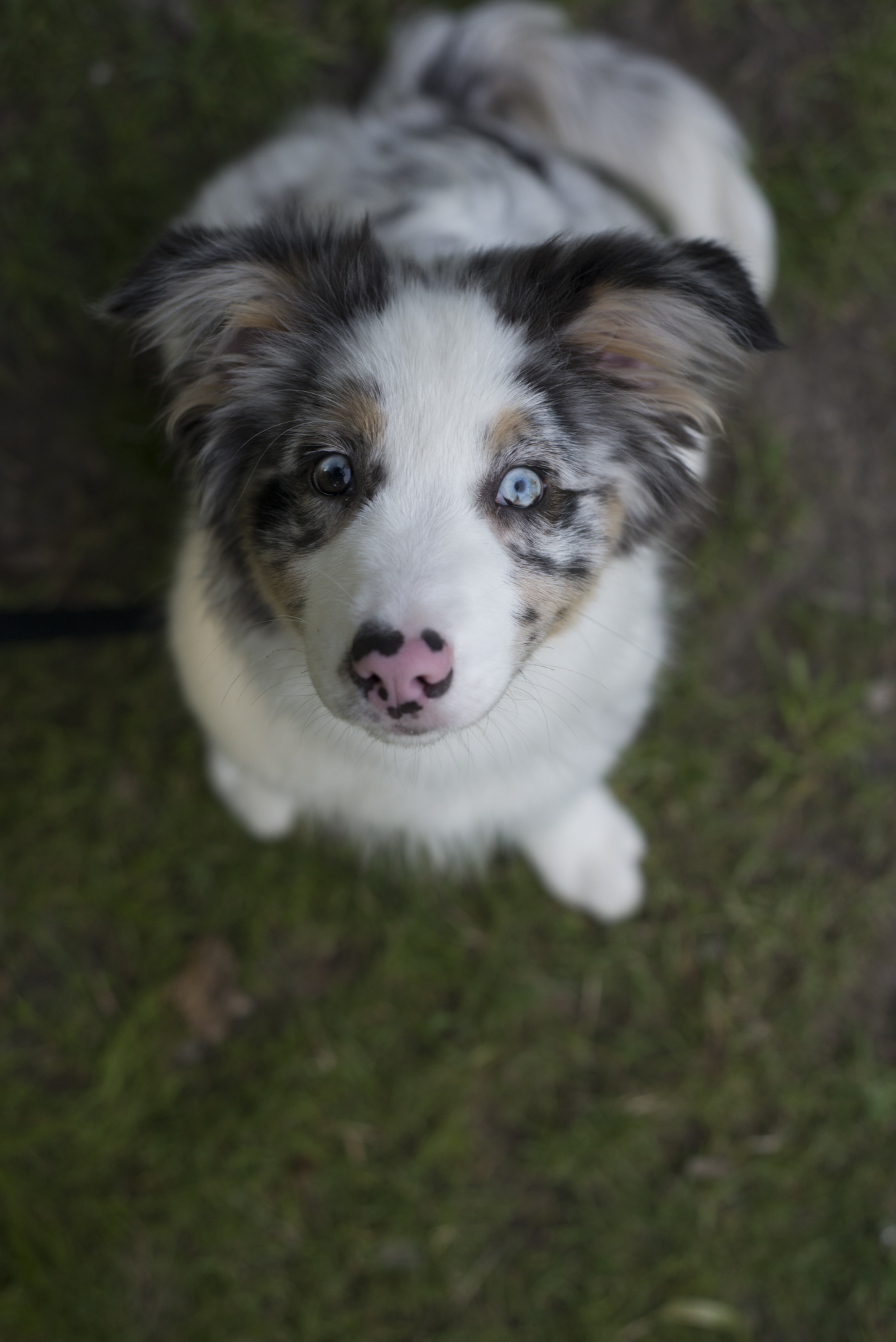 125307 download wallpaper Animals, Australian Shepherd, Dog, Puppy, Nice, Sweetheart, Spotted, Spotty screensavers and pictures for free