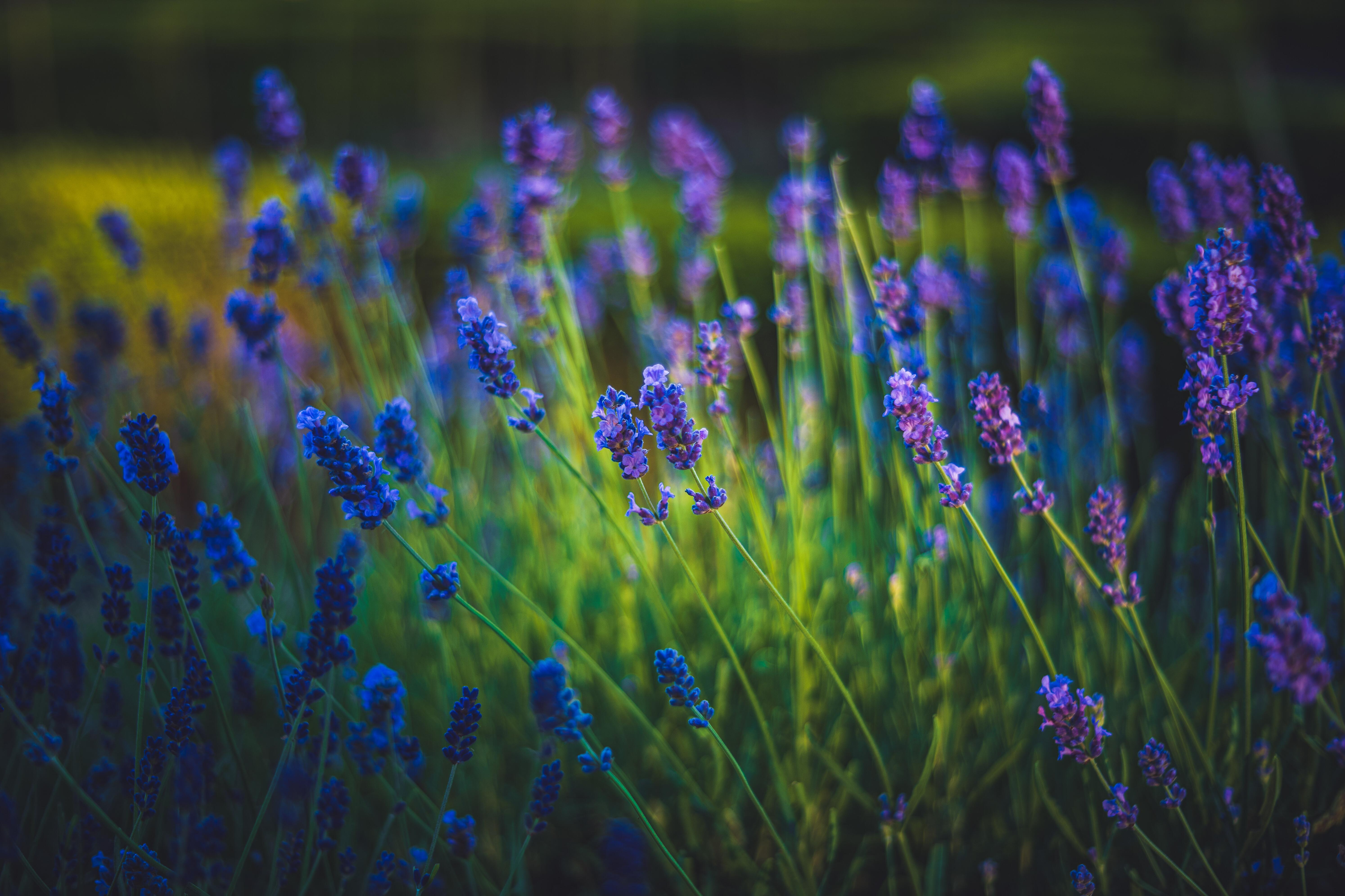 54492 скачать обои Весна, Лаванда, Цветы, Трава, Цветение - заставки и картинки бесплатно