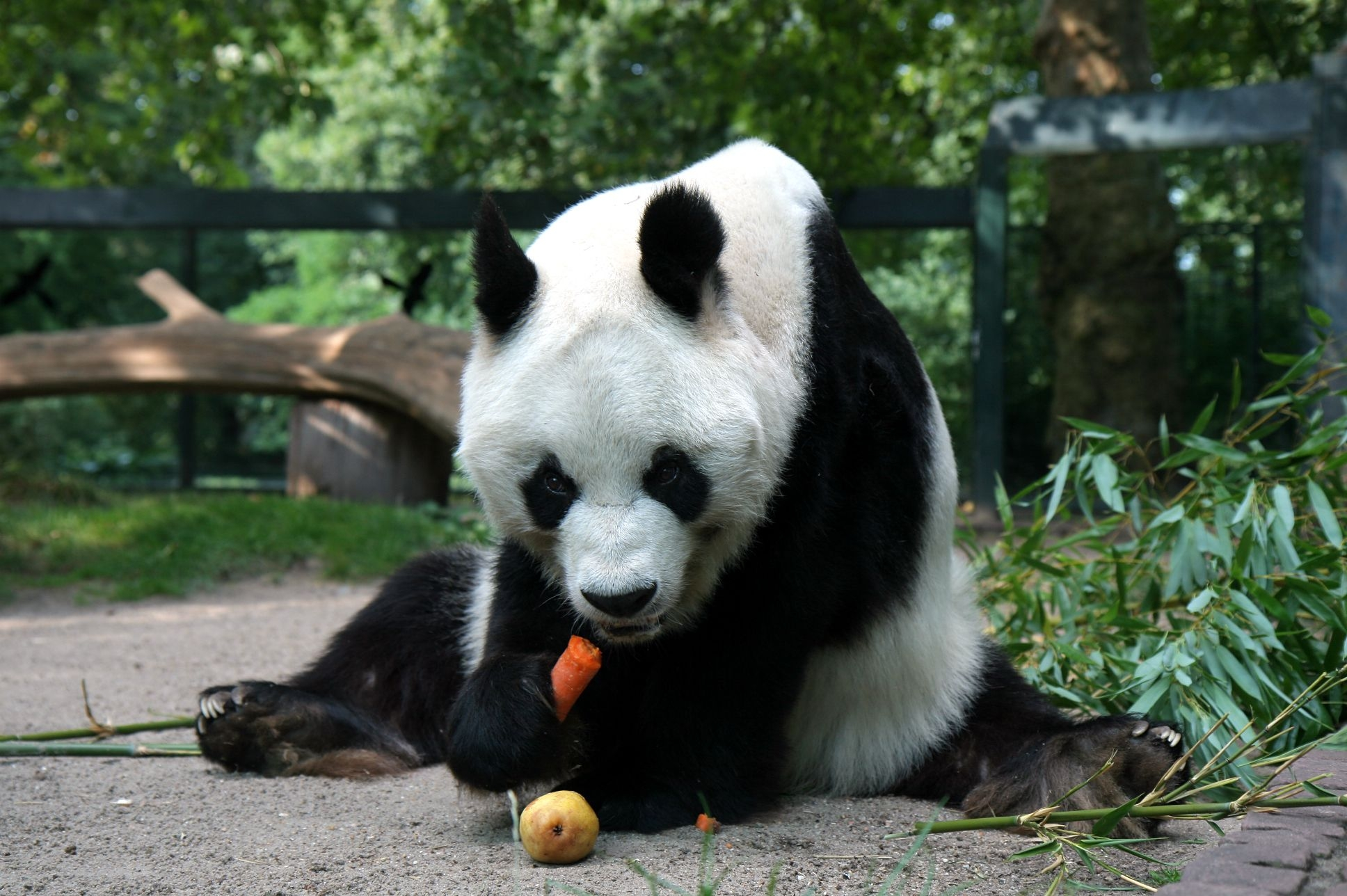 113252 download wallpaper Animals, Panda, Sit, Food screensavers and pictures for free