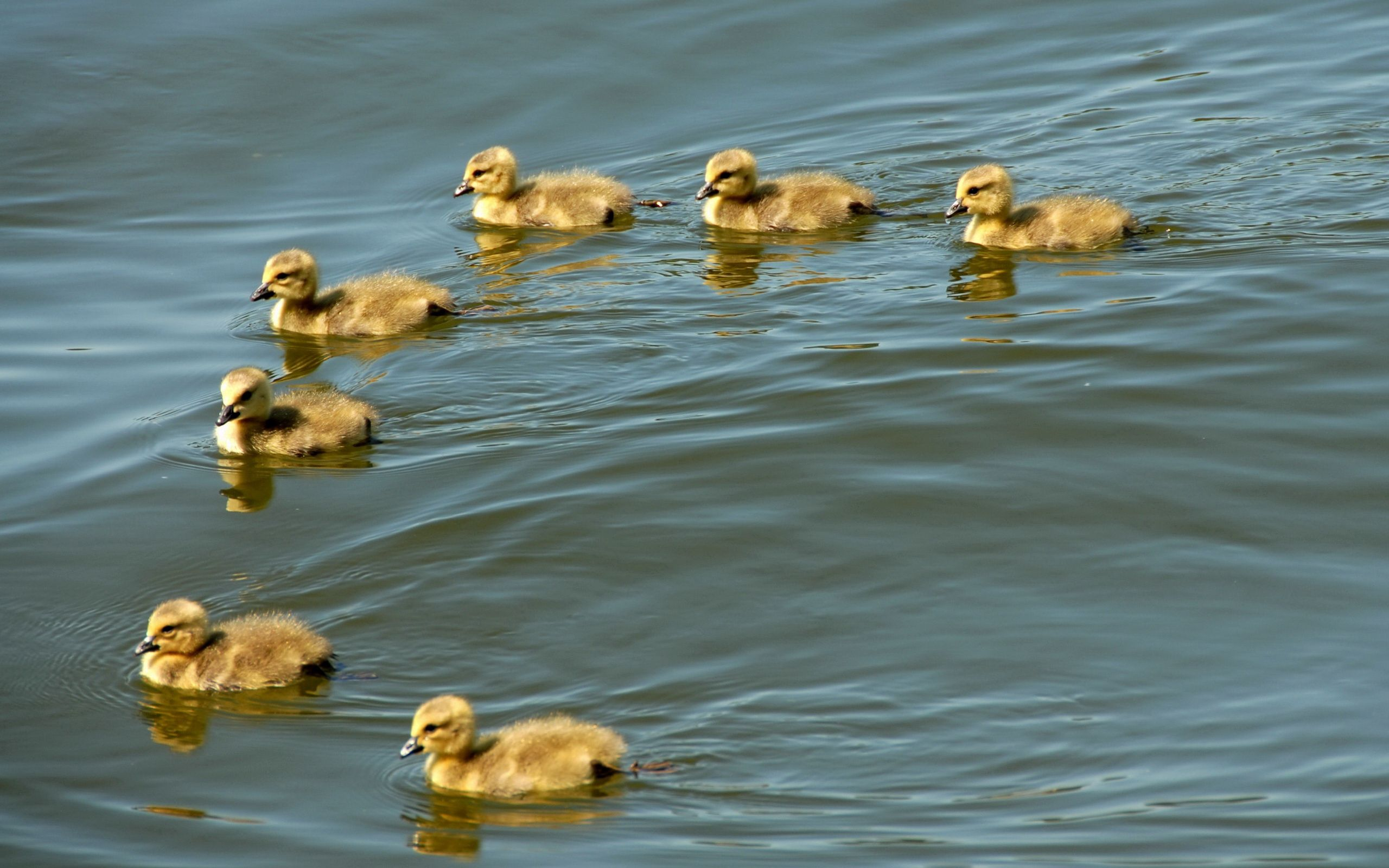 134648 download wallpaper Animals, Ducklings, To Swim, Swim, Flock, Birds screensavers and pictures for free