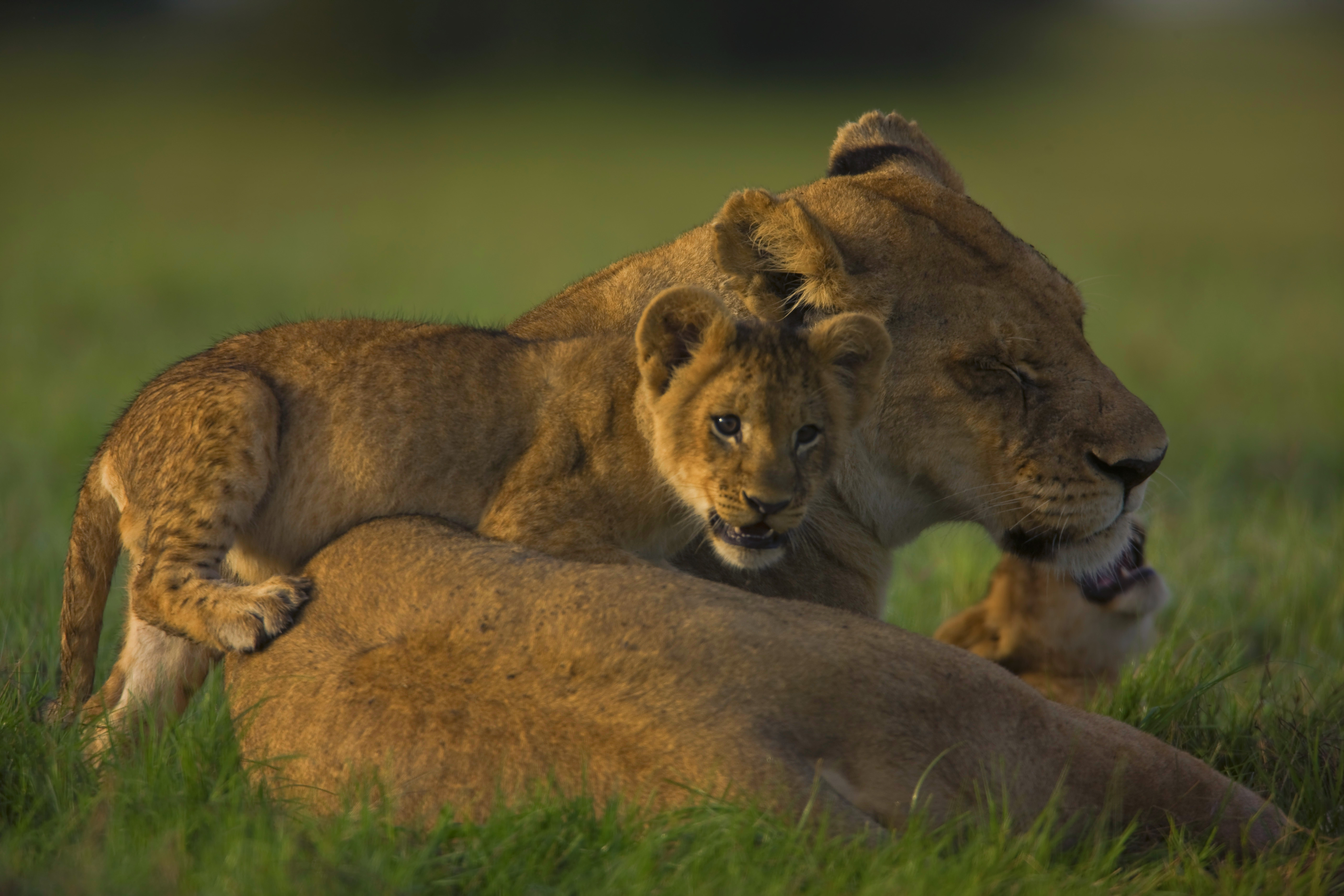 92272 download wallpaper Animals, Lioness, Muzzle, Cubs, Young, Lion Cubs screensavers and pictures for free