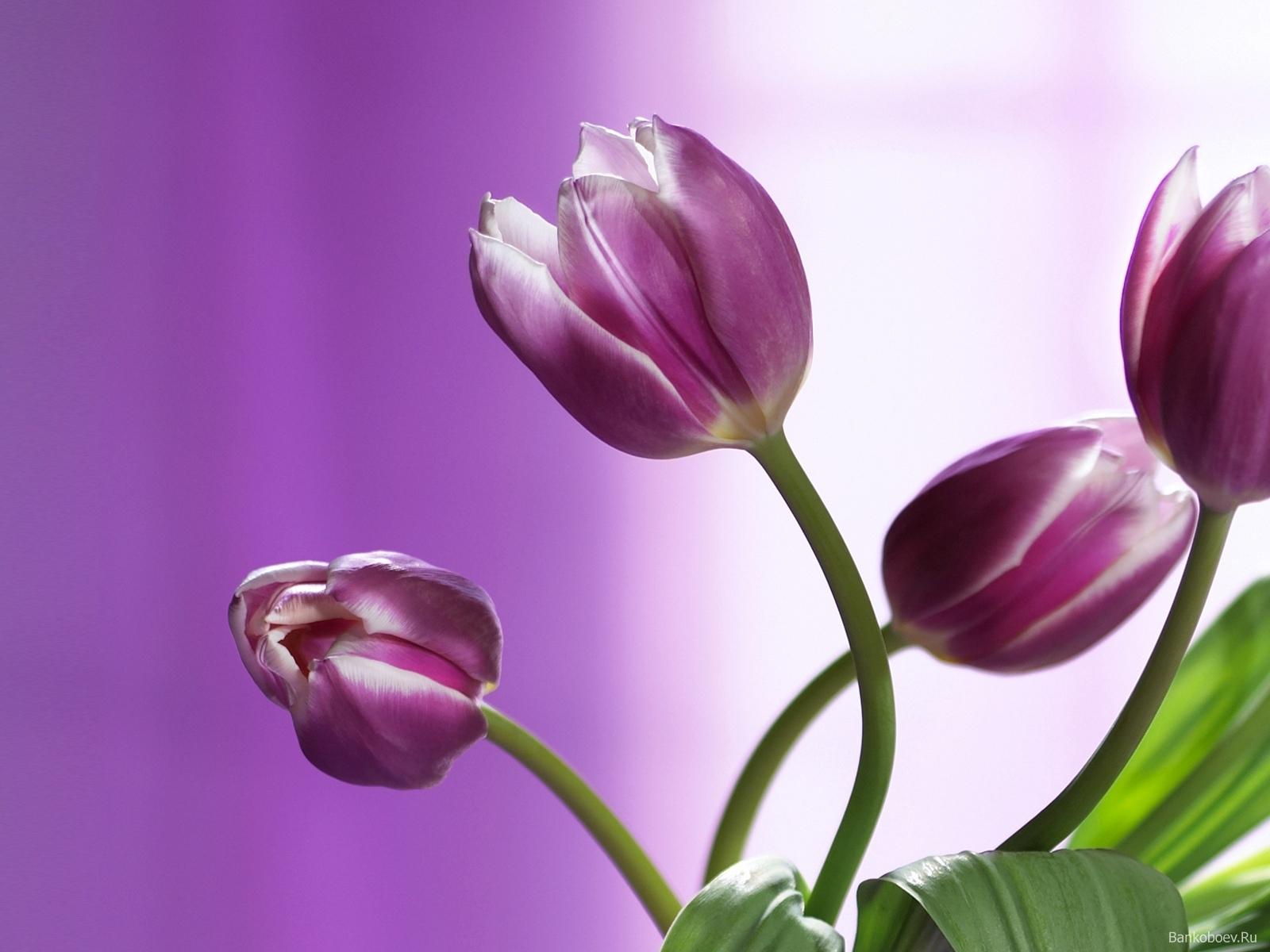 5344 скачать обои Растения, Цветы, Тюльпаны - заставки и картинки бесплатно