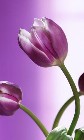 5344 télécharger le fond d'écran Plantes, Fleurs, Tulipes - économiseurs d'écran et images gratuitement