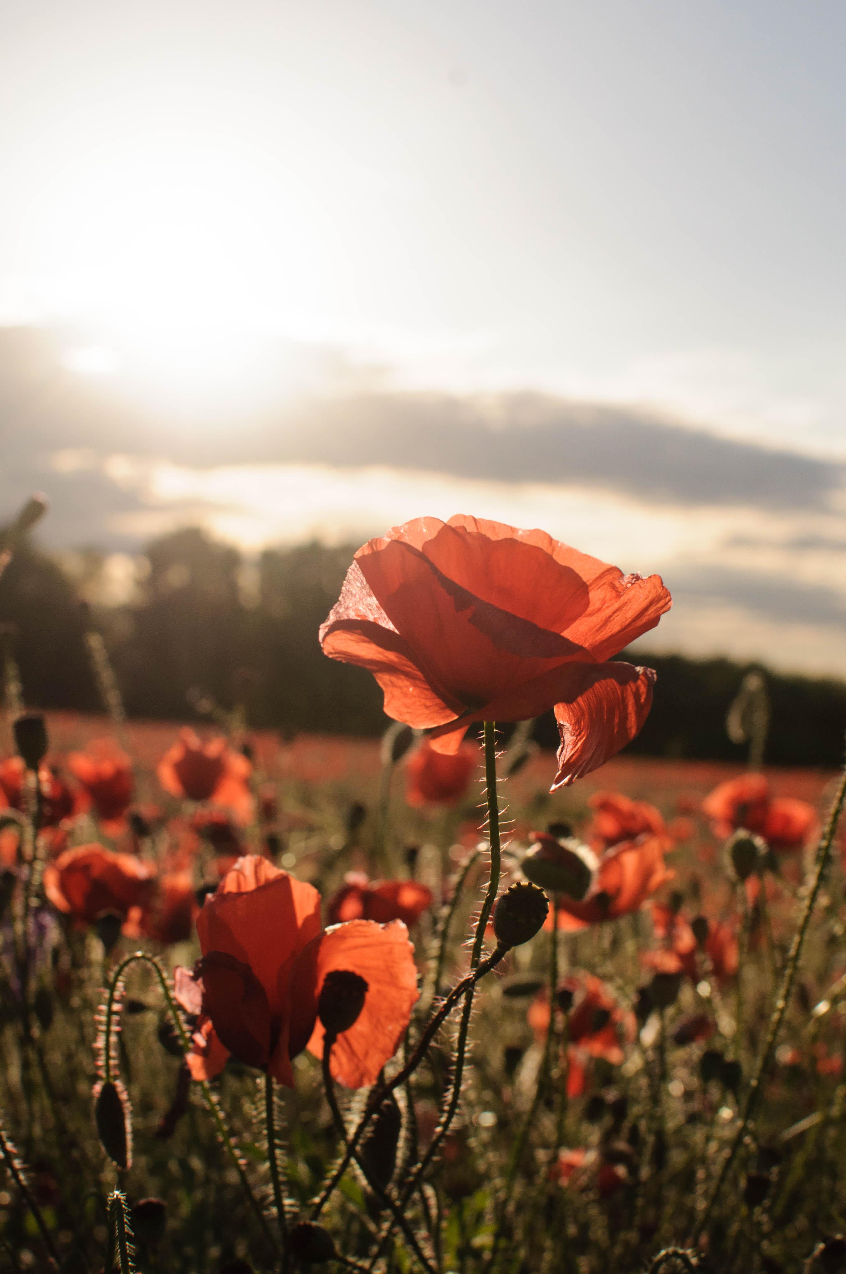 131593 скачать обои Цветы, Маки, Красный, Поле, Солнечный Свет - заставки и картинки бесплатно