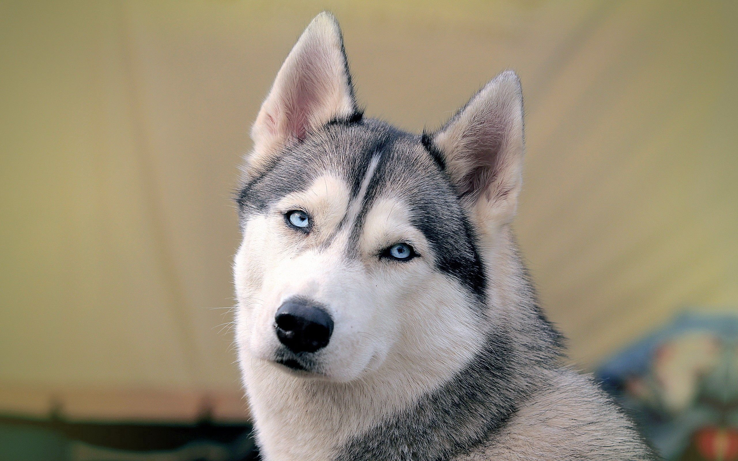 105766 Screensavers and Wallpapers Husky for phone. Download Animals, Dog, Muzzle, Sight, Opinion, Husky, Haska pictures for free