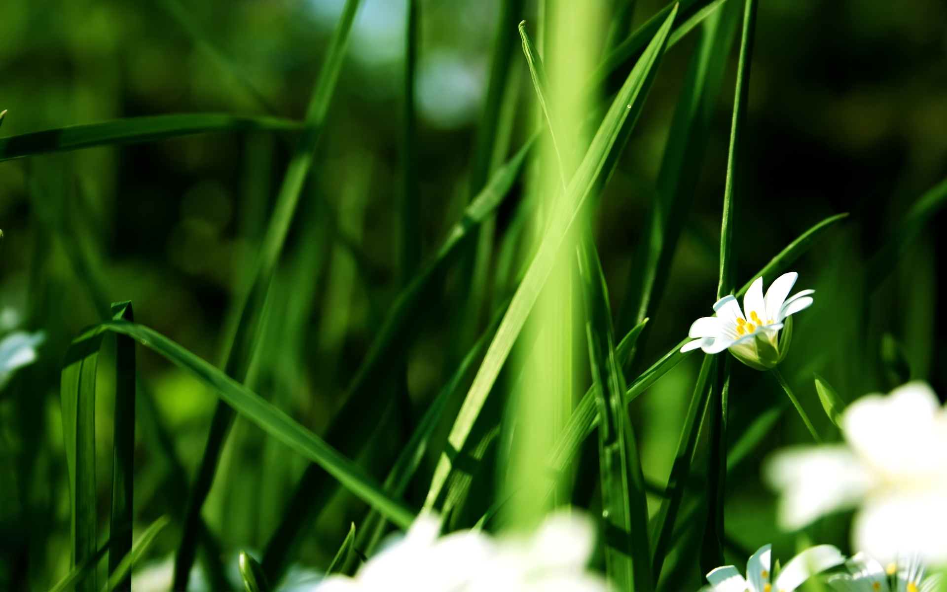 46265 download wallpaper Plants, Flowers, Camomile screensavers and pictures for free