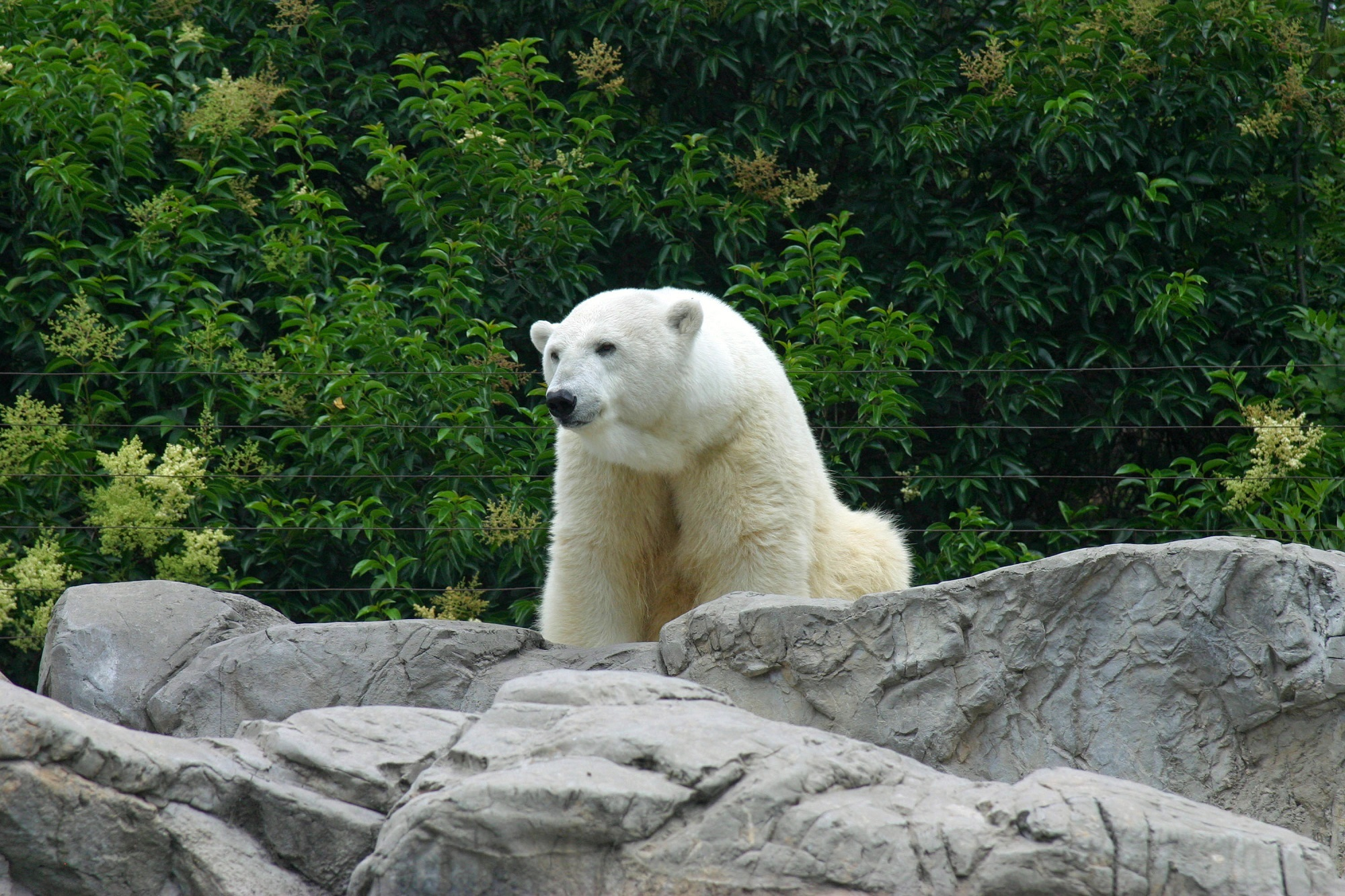 84649 Hintergrundbild herunterladen Tiere, Stones, Bär, Raubtier, Predator, Eisbär, Polarbär - Bildschirmschoner und Bilder kostenlos