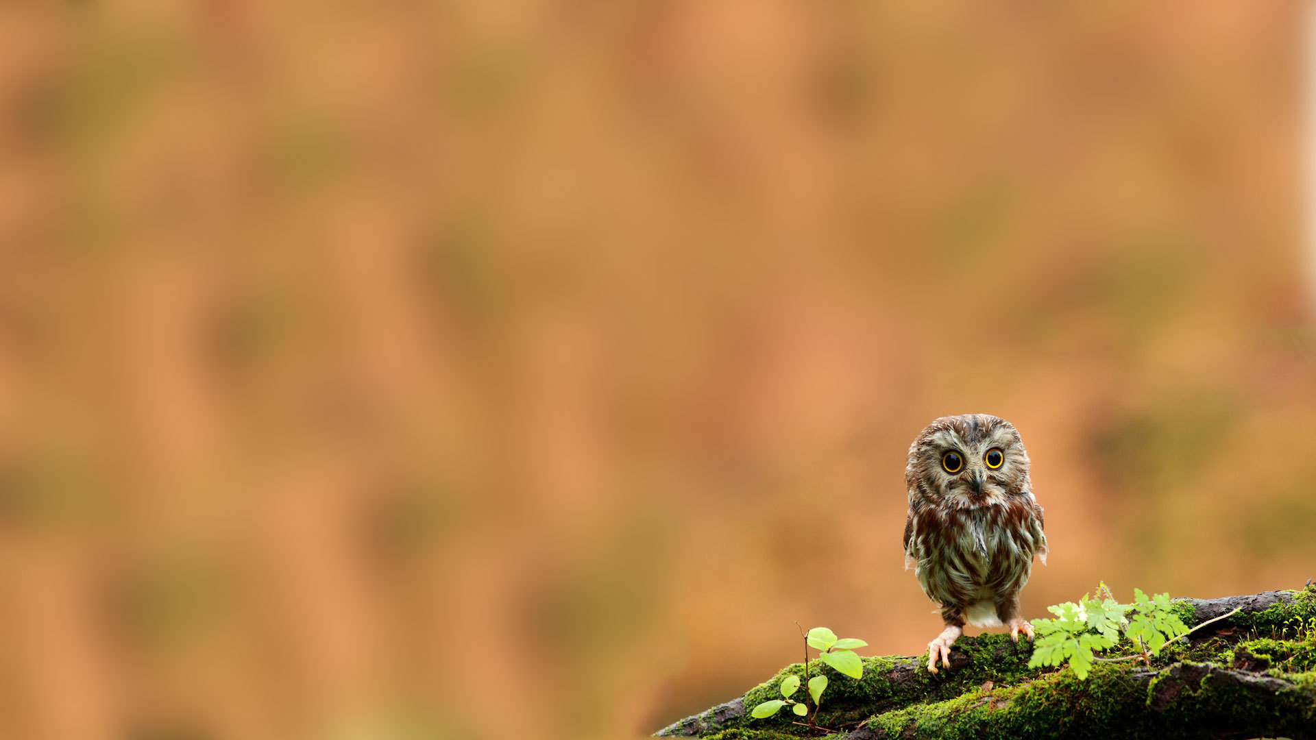 21365 download wallpaper Animals, Birds, Owl screensavers and pictures for free