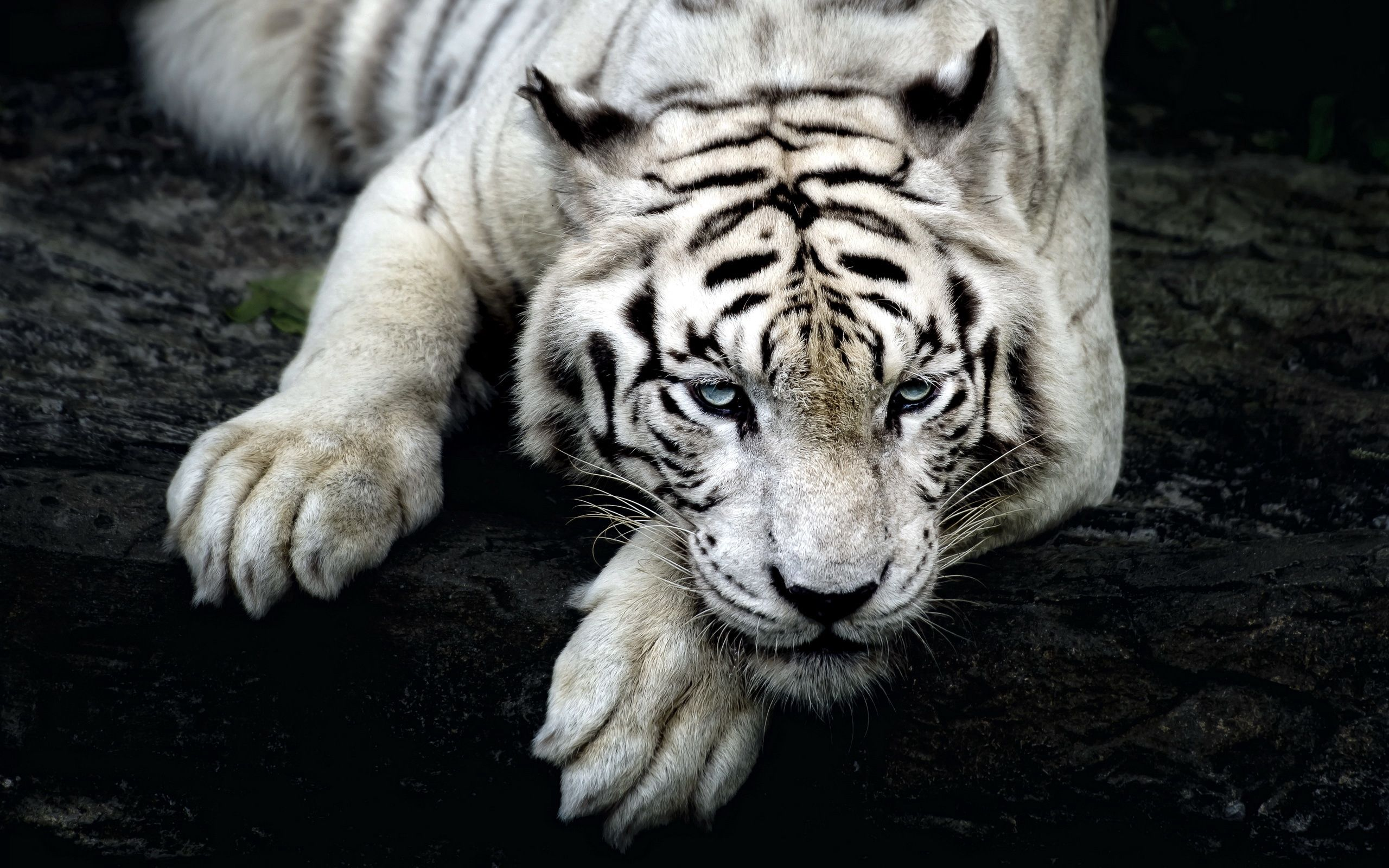 140399 download wallpaper Animals, Tiger, Albino, To Lie Down, Lie, Muzzle screensavers and pictures for free