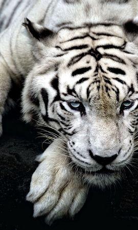 140399 免費下載壁紙 动物, 老虎, 虎, 白化病, 阿尔比诺斯, 躺下来, 躺下, 枪口, 莫尔达 屏保和圖片