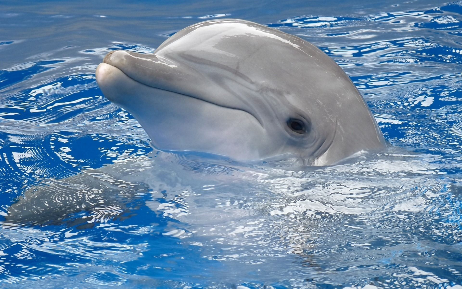 67172 download wallpaper Animals, Water, Head, To Swim, Swim, Dolphin screensavers and pictures for free