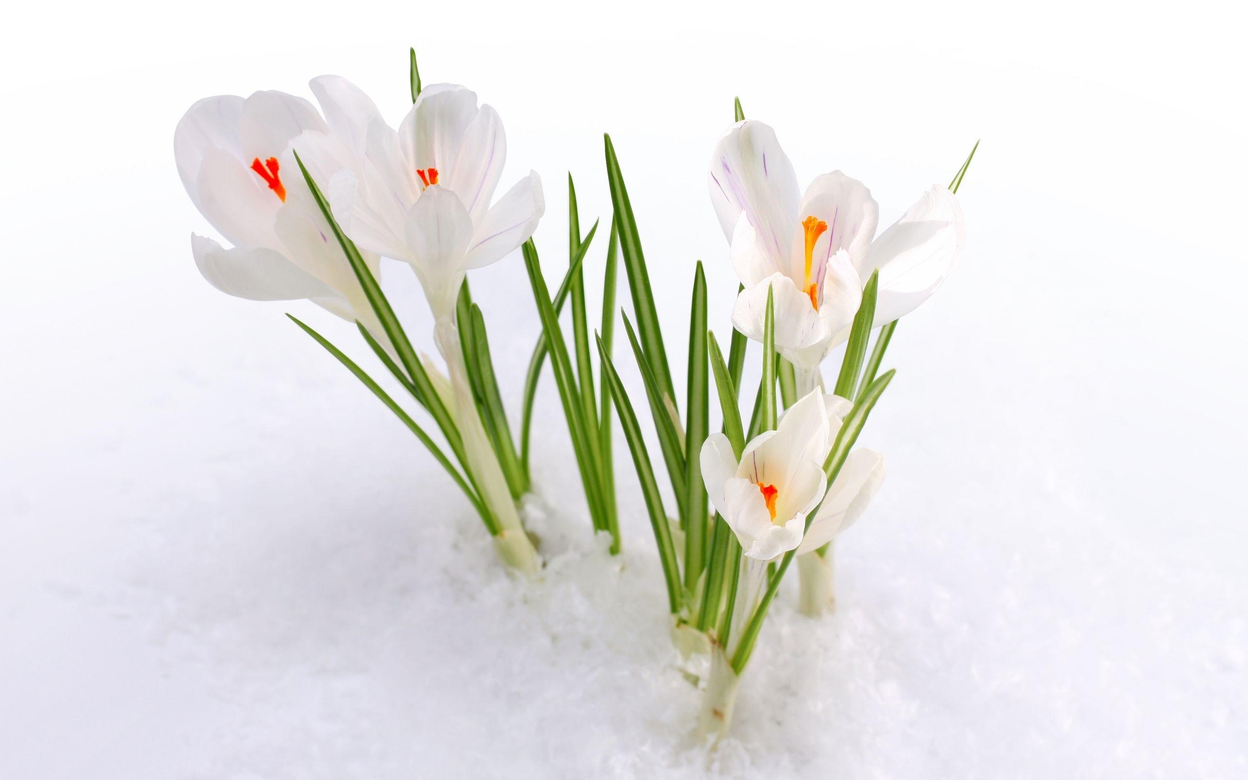 46568 Заставки и Обои Подснежники на телефон. Скачать Растения, Цветы, Подснежники картинки бесплатно