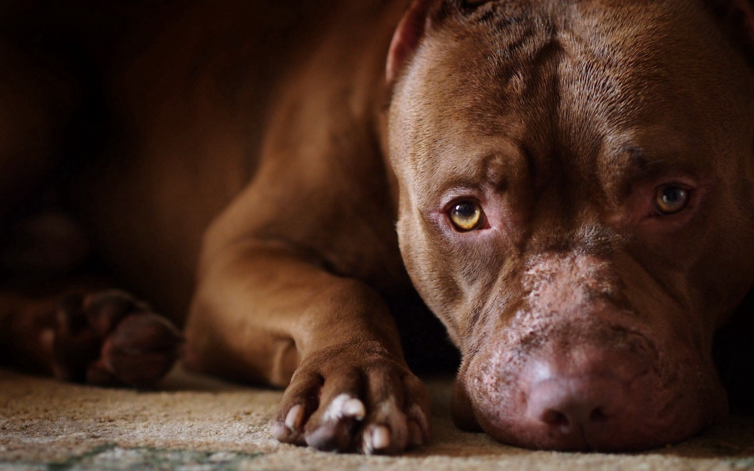 100581 download wallpaper Dog, Animals, Muzzle, Pedigree, Breeding screensavers and pictures for free