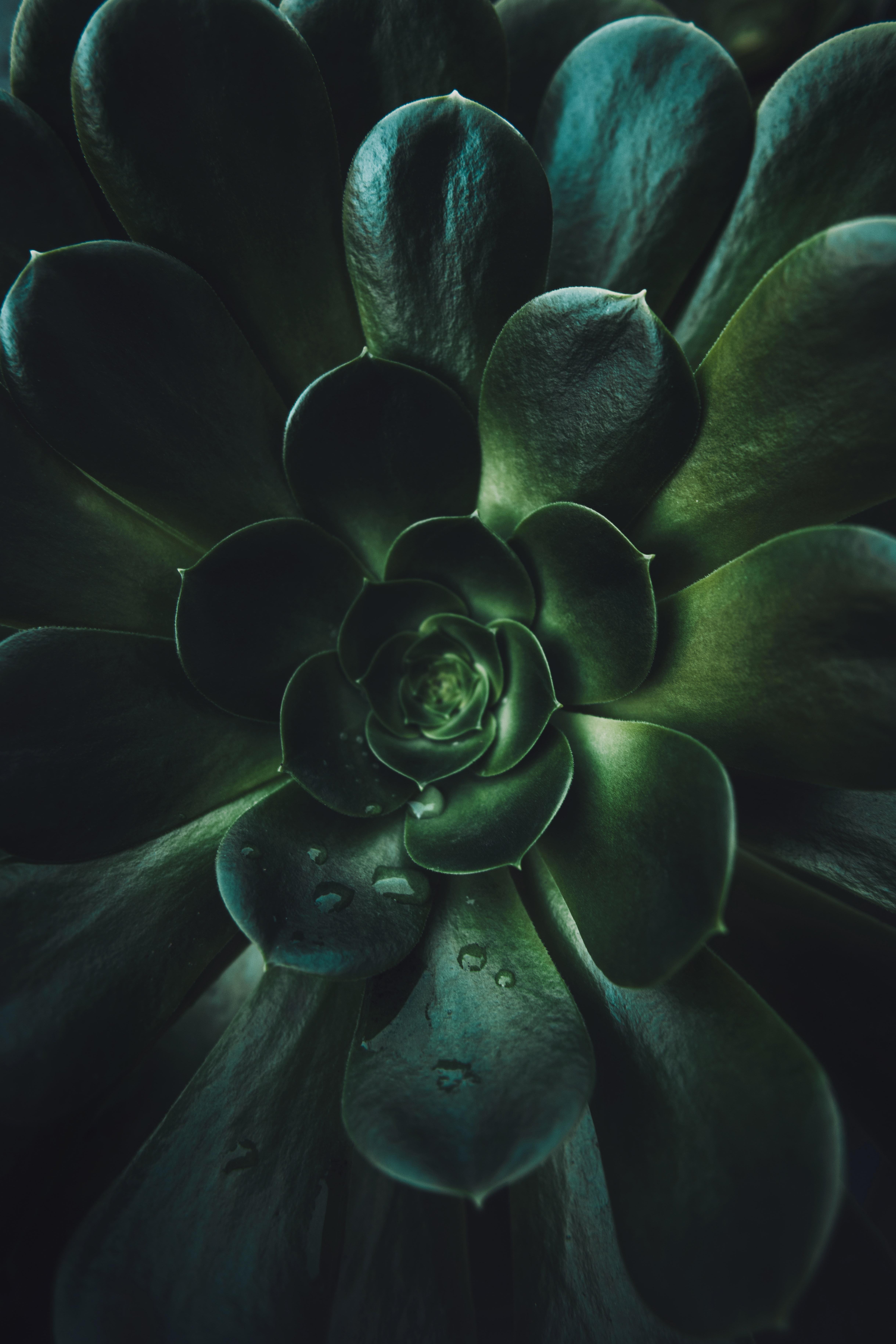 104643 скачать обои Листья, Растение, Макро, Зеленый, Суккулент - заставки и картинки бесплатно