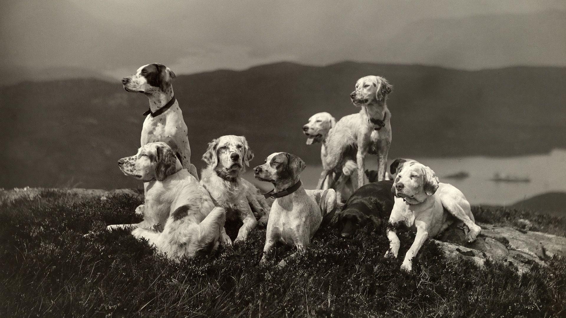62403 descargar fondo de pantalla Animales, Perros, Un Montón De, Multitud, Elevación, Una Familia, Familia, Bw, Chb: protectores de pantalla e imágenes gratis
