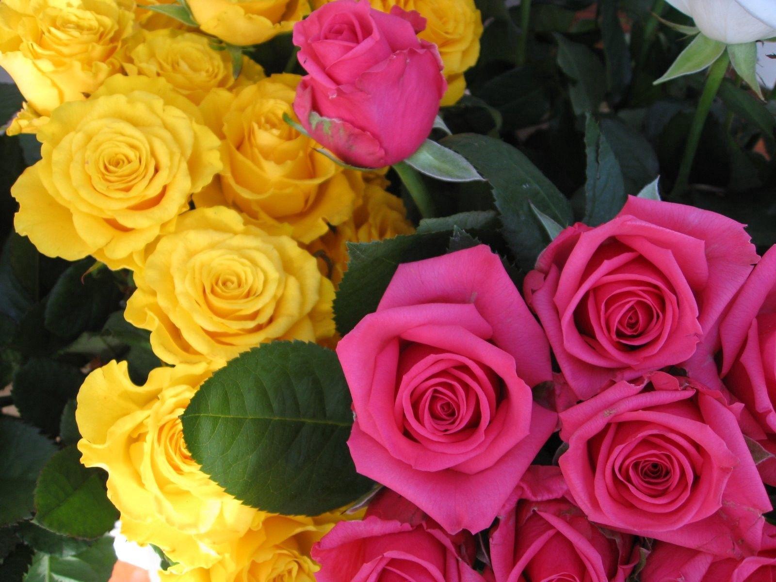 75852 скачать обои Цветы, Бутоны, Розовые, Розы - заставки и картинки бесплатно