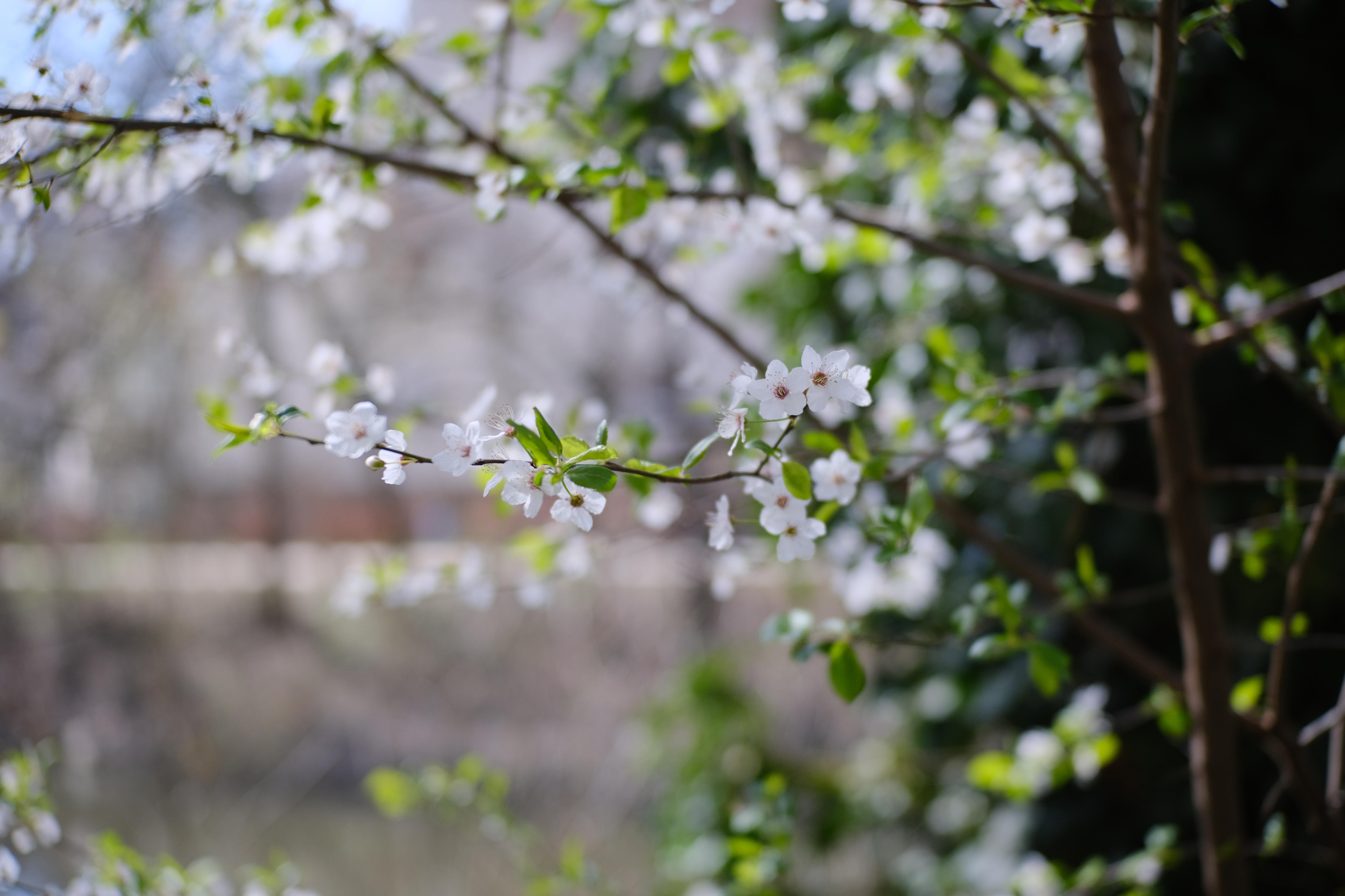157795 Заставки и Обои Вишня на телефон. Скачать Цветы, Вишня, Листья, Макро, Ветки, Весна картинки бесплатно