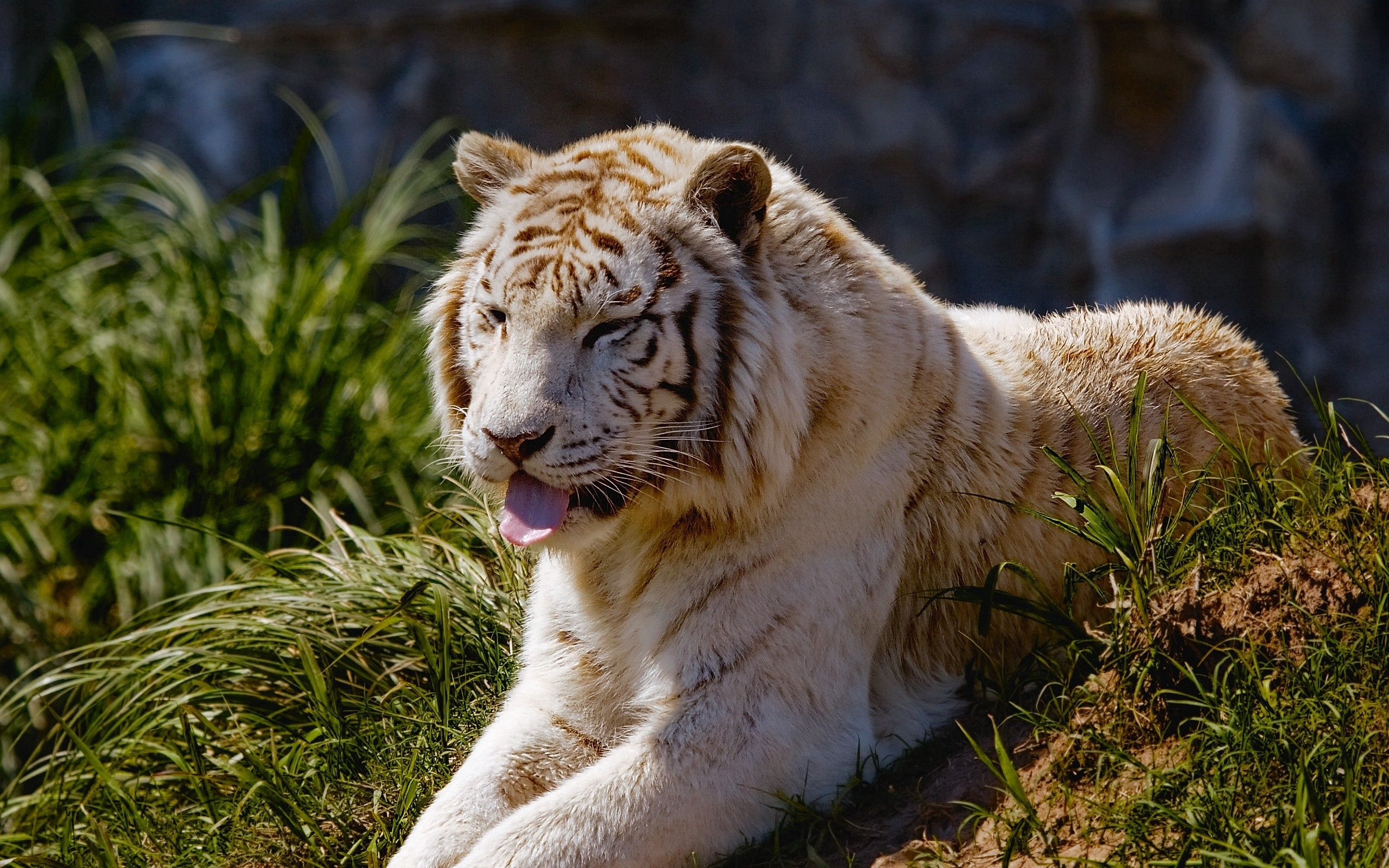 123771 download wallpaper Animals, Tiger, Protruding Tongue, Tongue Stuck Out, Grass, To Lie Down, Lie, Predator, Big Cat screensavers and pictures for free