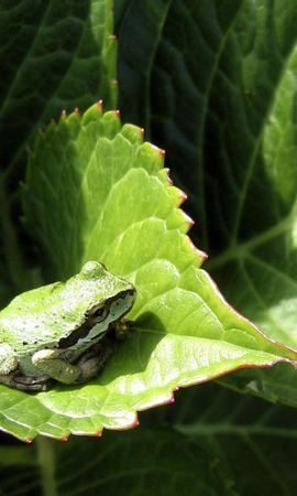 41850 baixar papel de parede Animais, Frogs - protetores de tela e imagens gratuitamente