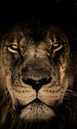 102216 download wallpaper Animals, Lion, Muzzle, Mane, Predator, Sight, Opinion screensavers and pictures for free