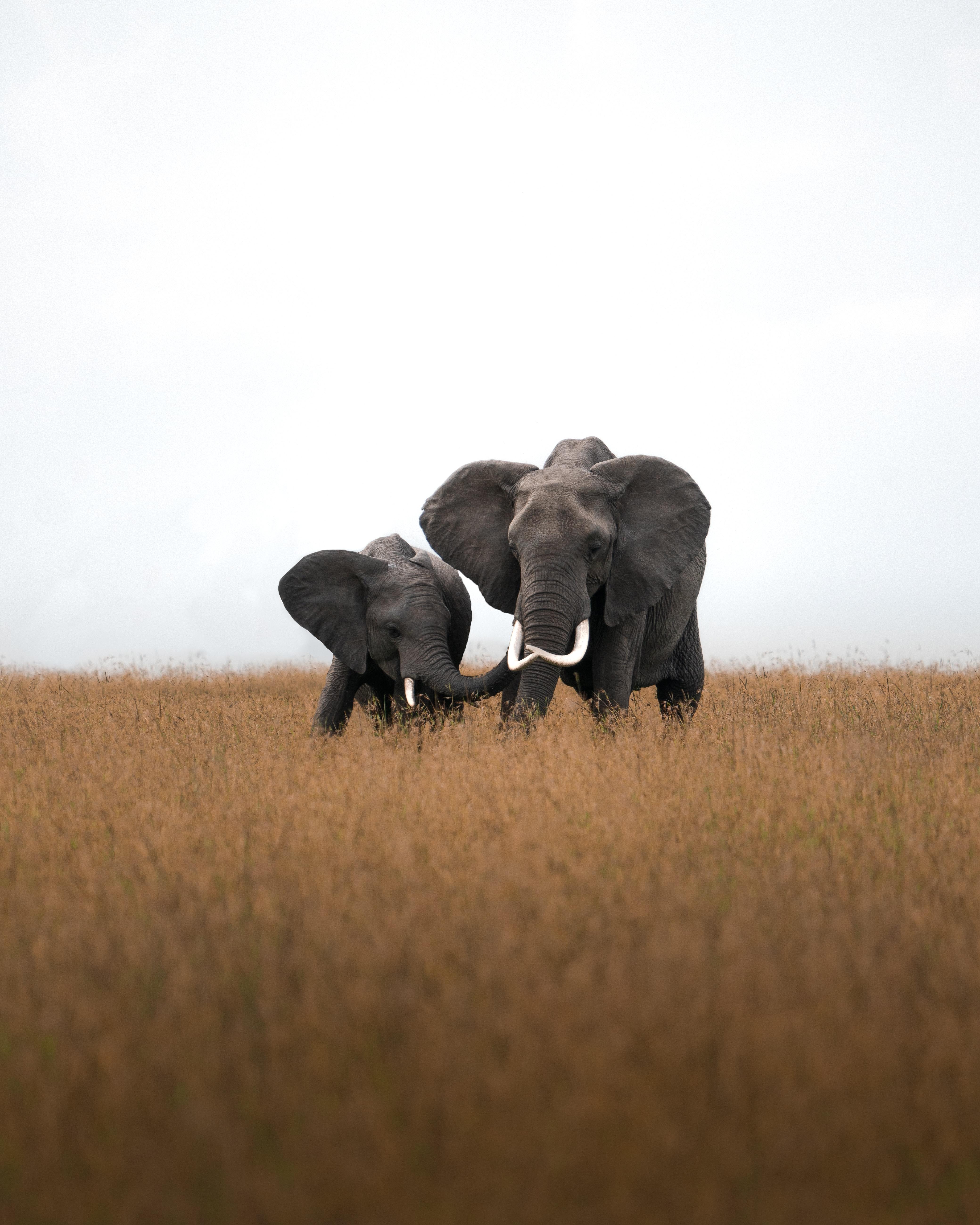 64017 скачать обои Животные, Дикая Природа, Поле, Трава, Слоны - заставки и картинки бесплатно