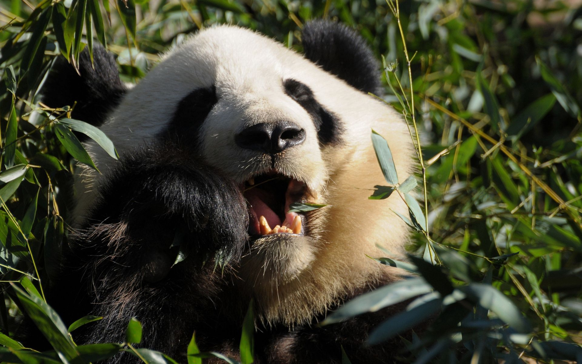 67542 download wallpaper Animals, Panda, Grass, Food screensavers and pictures for free
