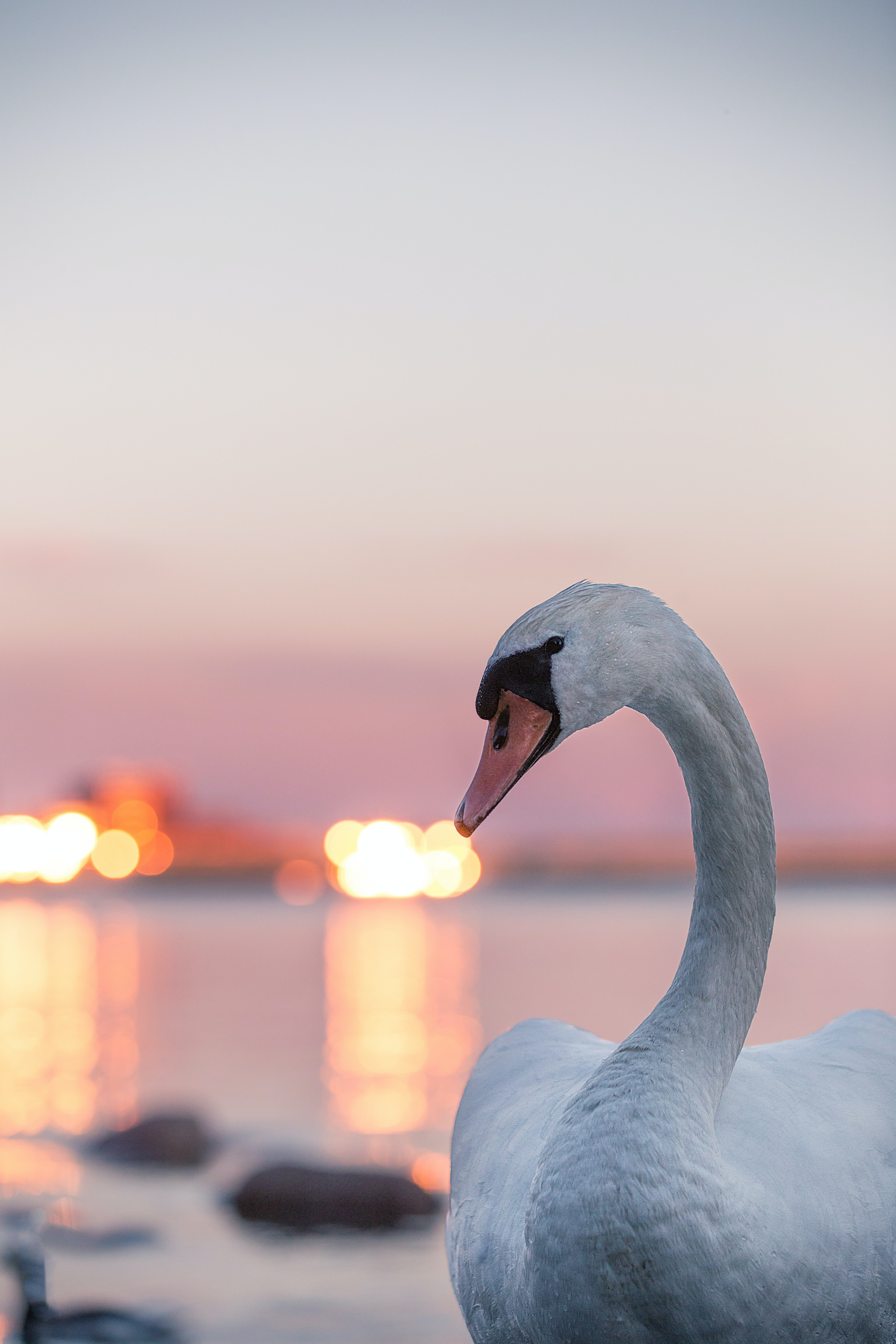 72209 download wallpaper Animals, Lights, Bird, Blur, Smooth, Swan screensavers and pictures for free