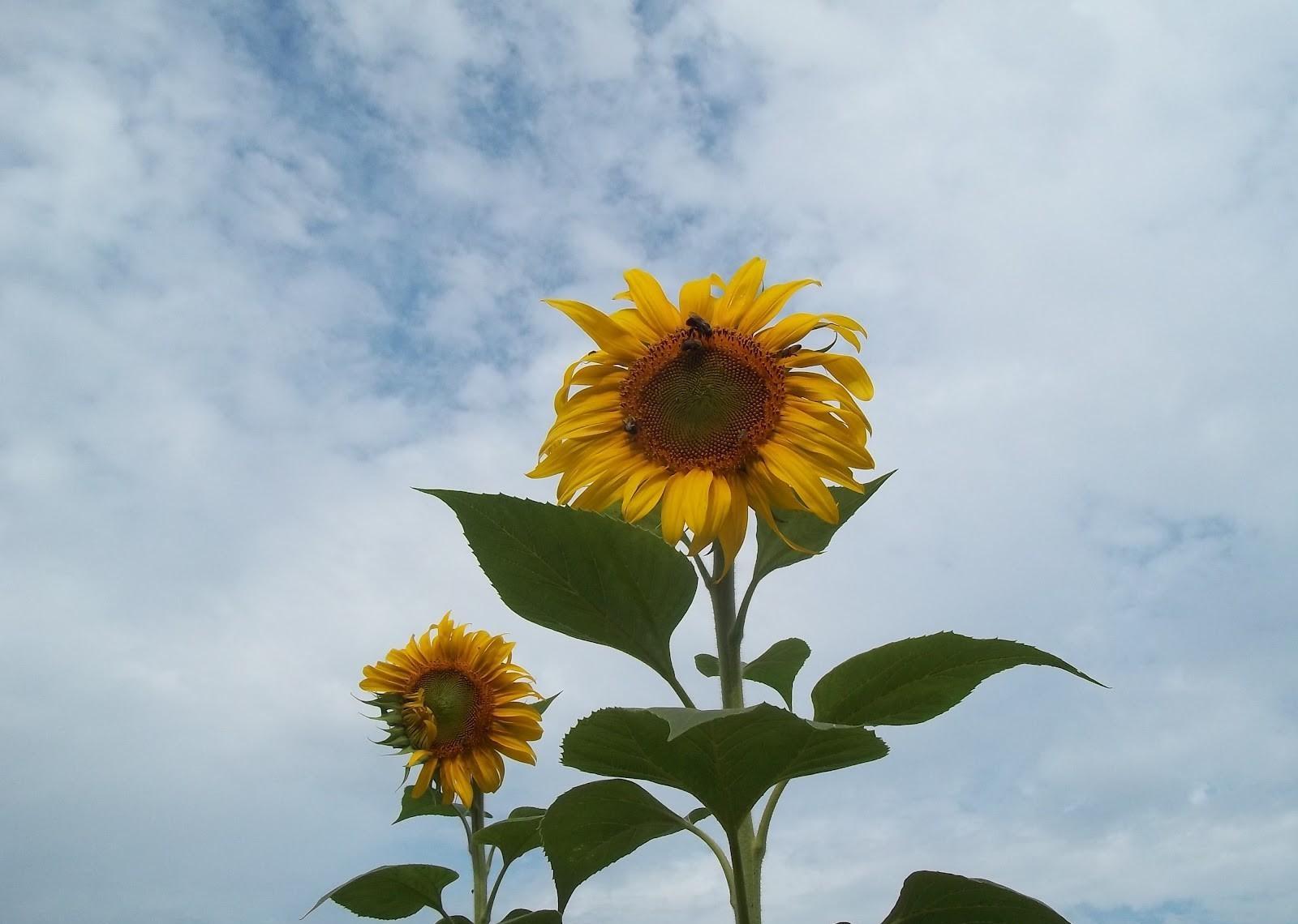 124379 скачать обои Цветы, Пара, Небо, Облака, Подсолнухи - заставки и картинки бесплатно