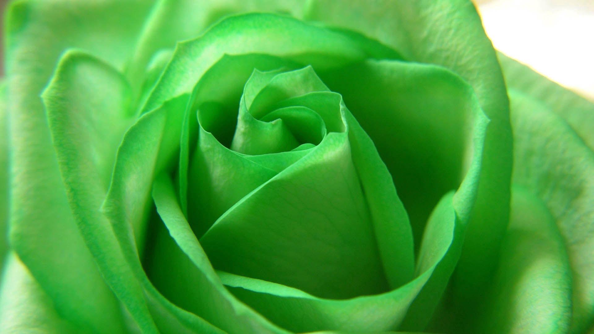 90734 Lade kostenlos Grün Hintergrundbilder für dein Handy herunter, Makro, Rose, Blütenblätter Grün Bilder und Bildschirmschoner für dein Handy