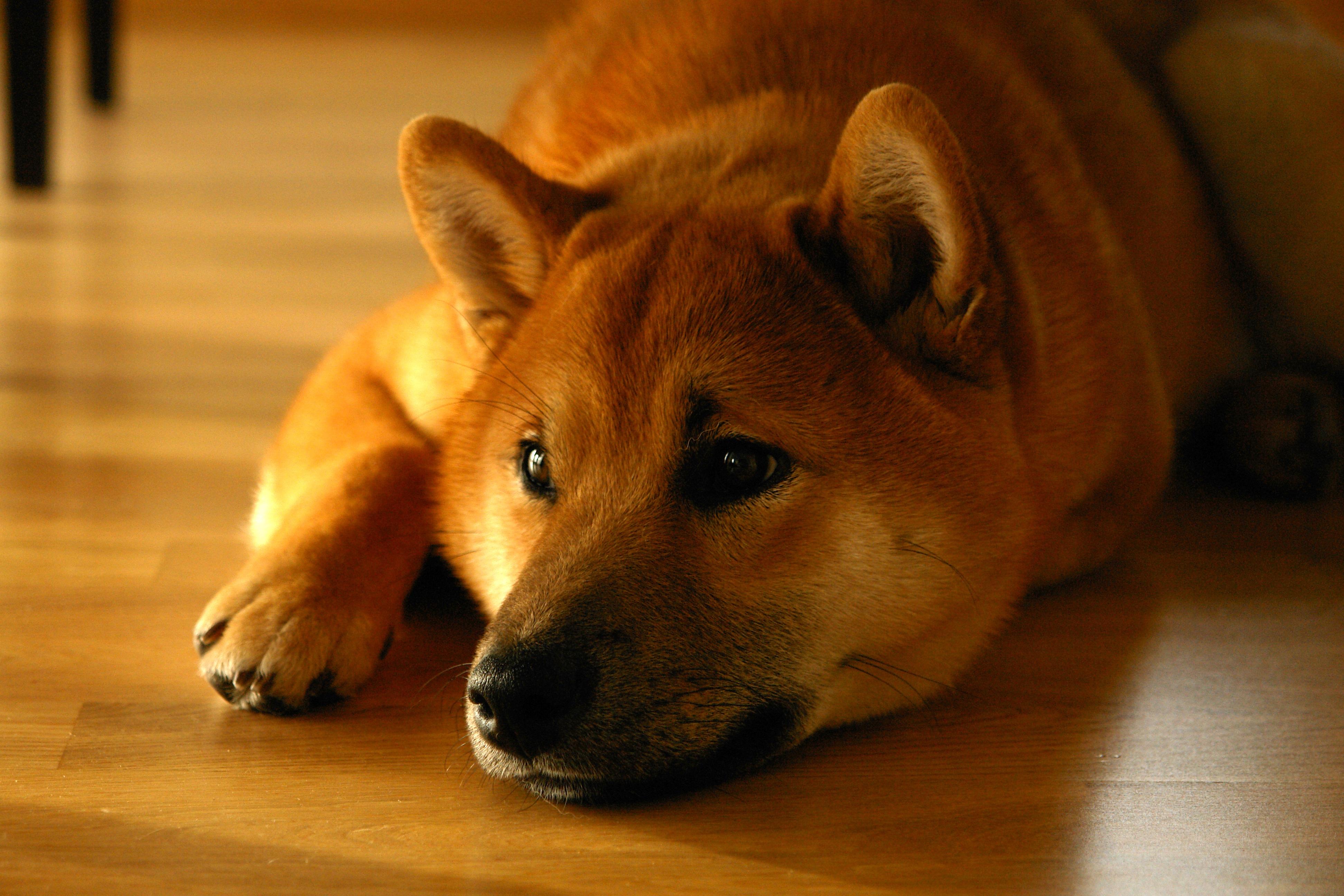 Download mobile wallpaper Siba Inu, Muzzle, Shiba Inu, Lies, Animals, Dog for free.