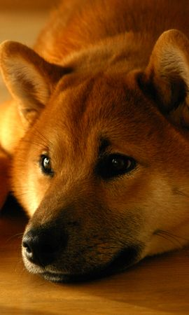 157120 download wallpaper Animals, Shiba Inu, Siba Inu, Dog, Muzzle, Lies screensavers and pictures for free