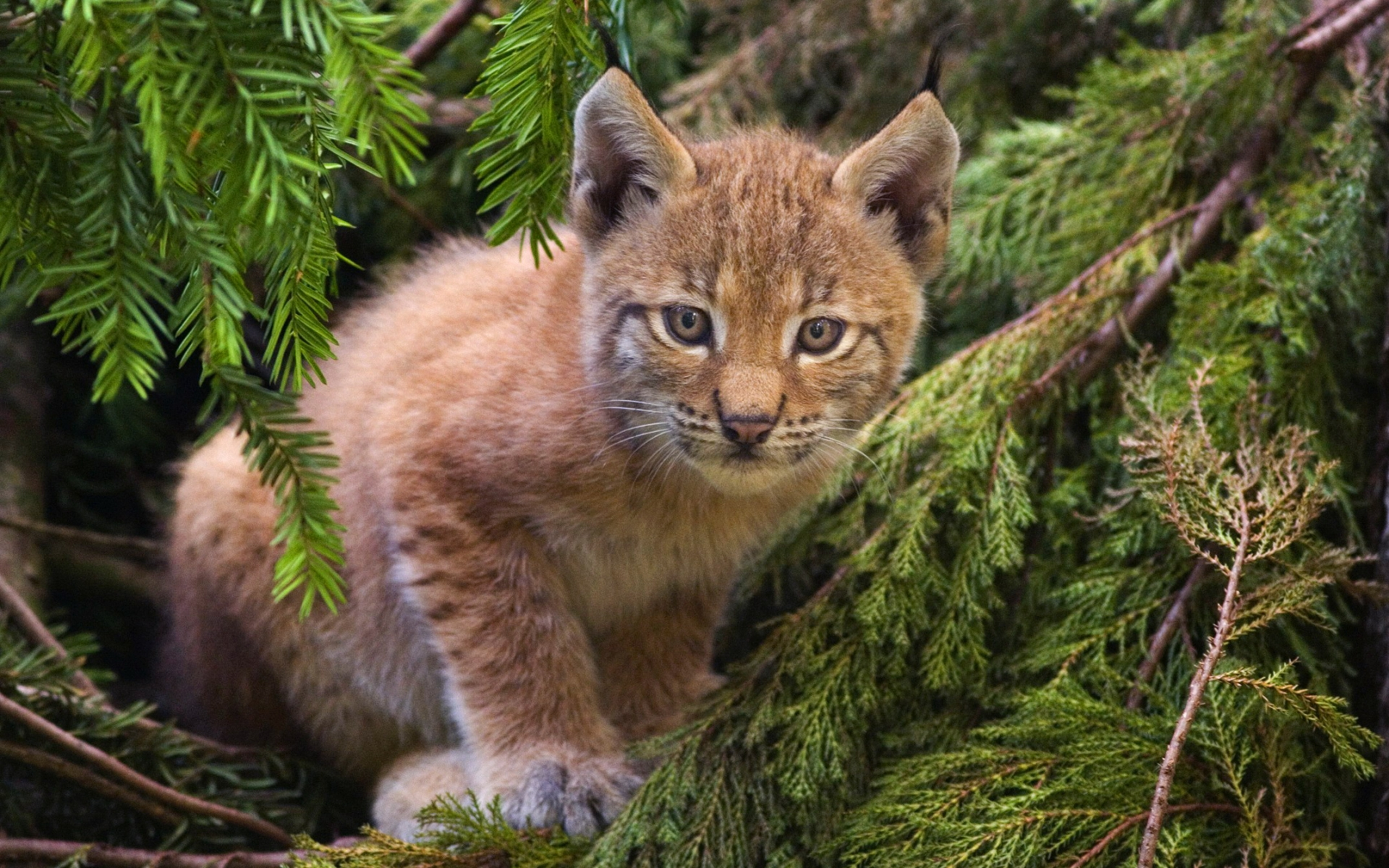 33855 download wallpaper Animals, Bobcats screensavers and pictures for free