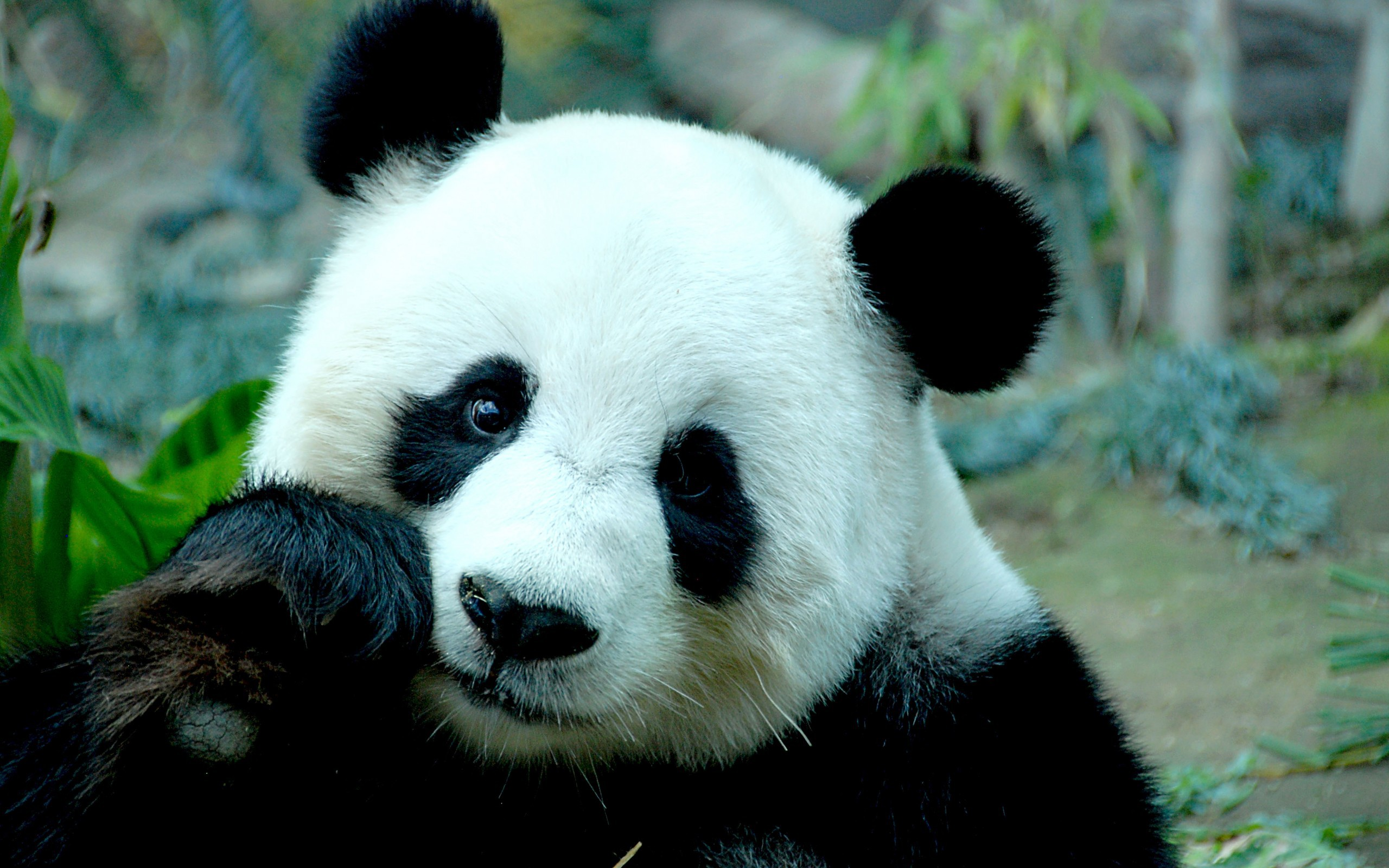 32212 download wallpaper Animals, Pandas screensavers and pictures for free