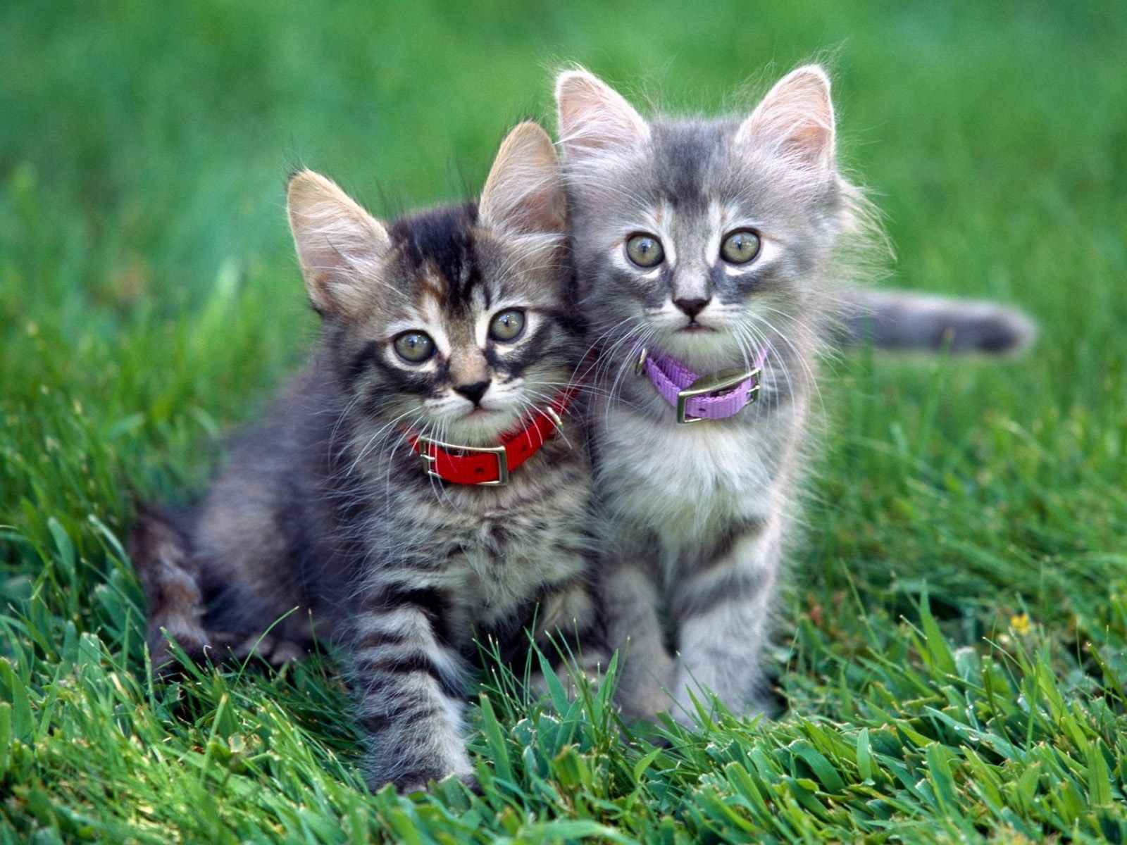 101597 Screensavers and Wallpapers Kittens for phone. Download Animals, Grass, Couple, Pair, Collar, Kittens pictures for free