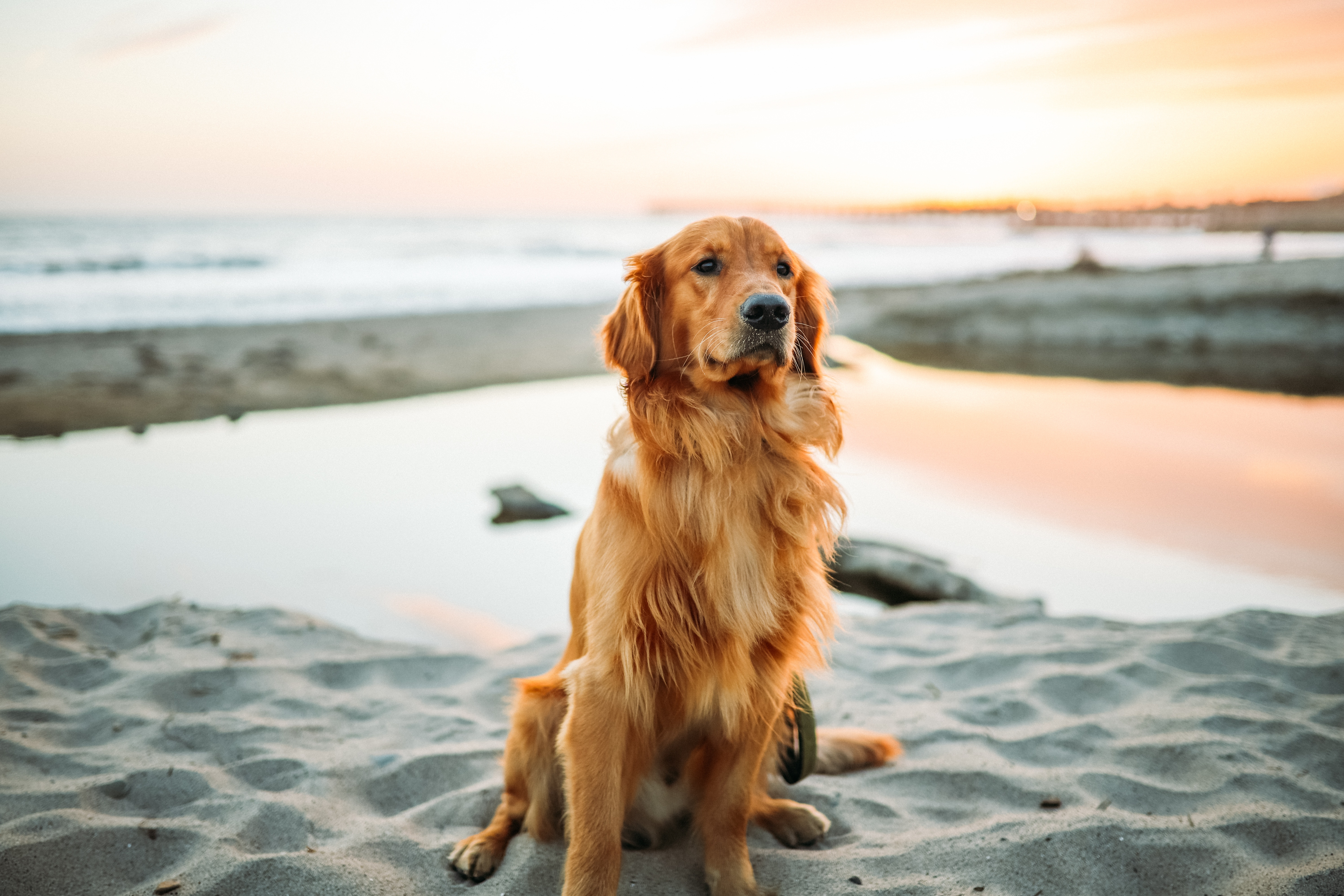 121975 Screensavers and Wallpapers Sand for phone. Download Animals, Sand, Dog, Golden Retriever, Is Sitting, Sits pictures for free