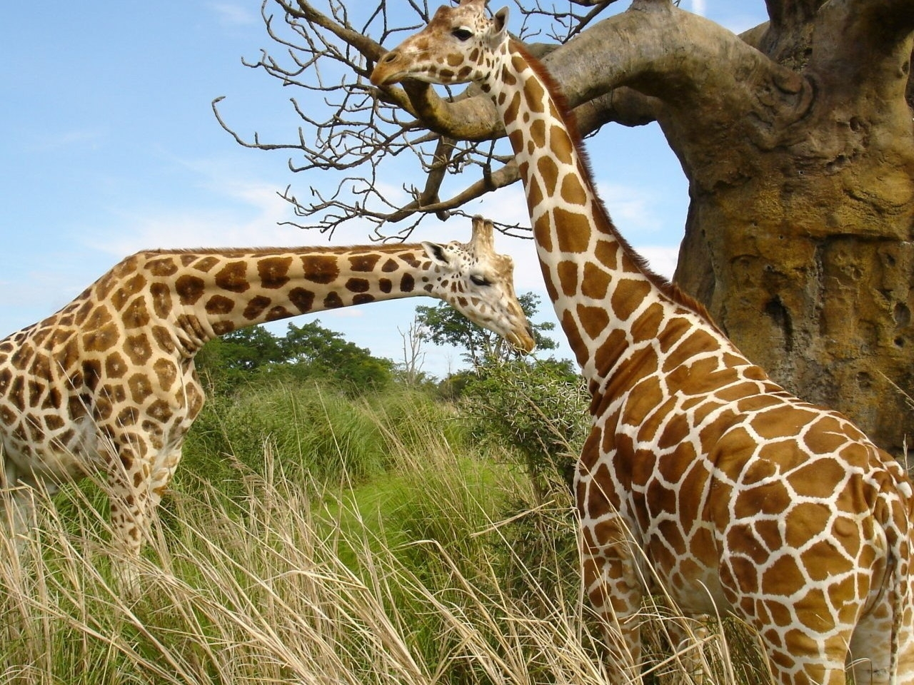 30379 download wallpaper Animals, Giraffes screensavers and pictures for free