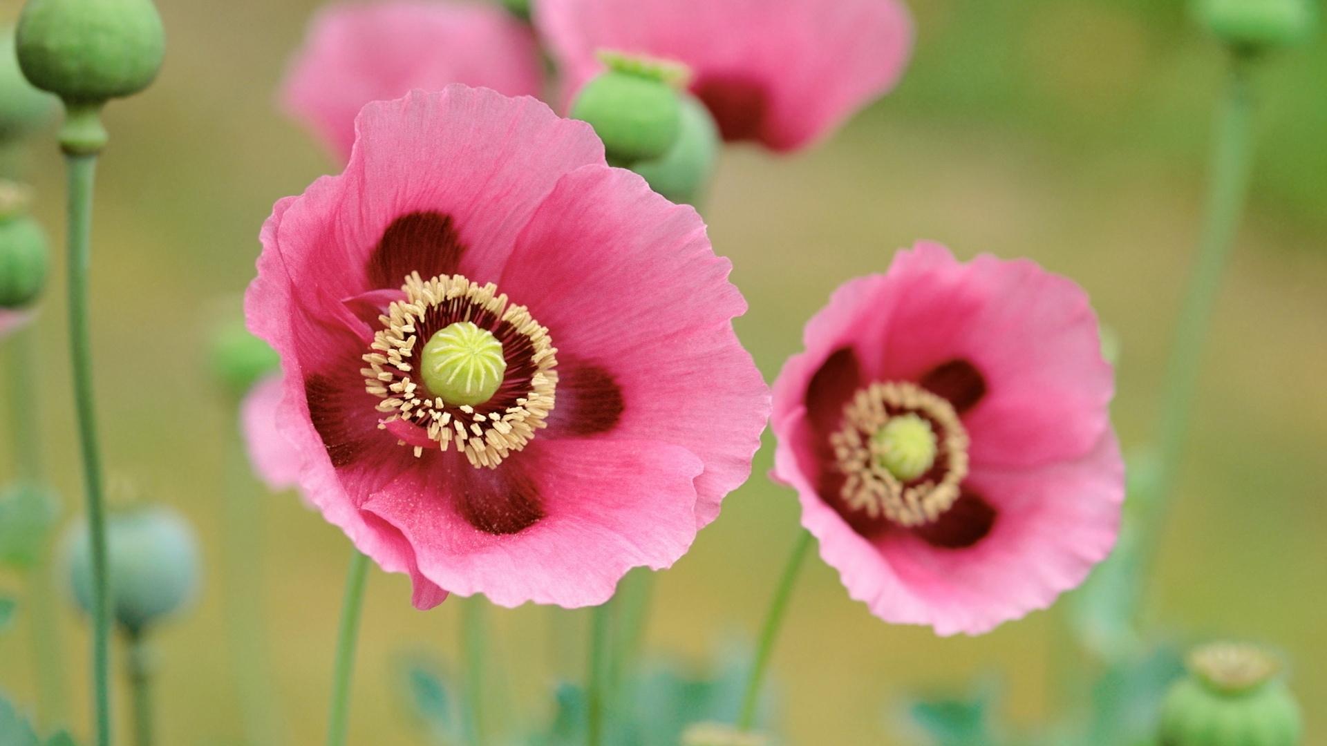 40200 скачать обои Растения, Цветы, Маки - заставки и картинки бесплатно