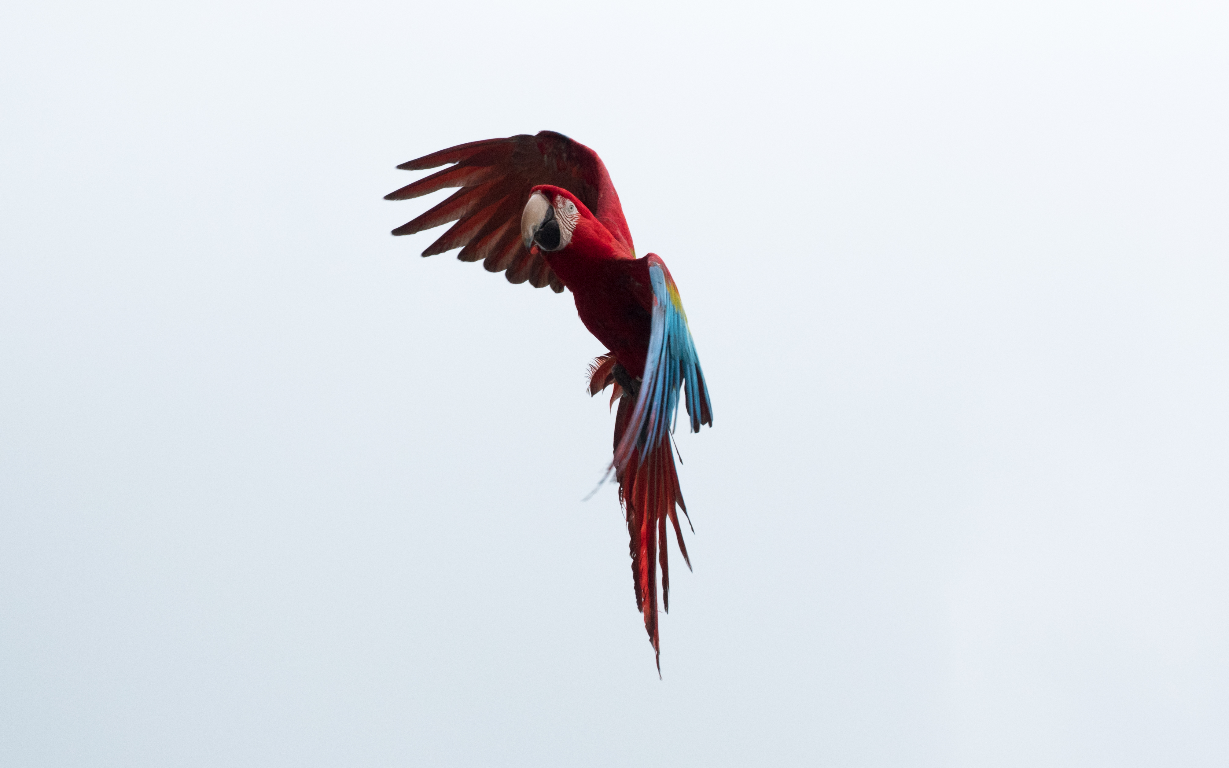 110208 Заставки и Обои Попугаи на телефон. Скачать Попугаи, Животные, Небо, Птица, Полет, Ара картинки бесплатно