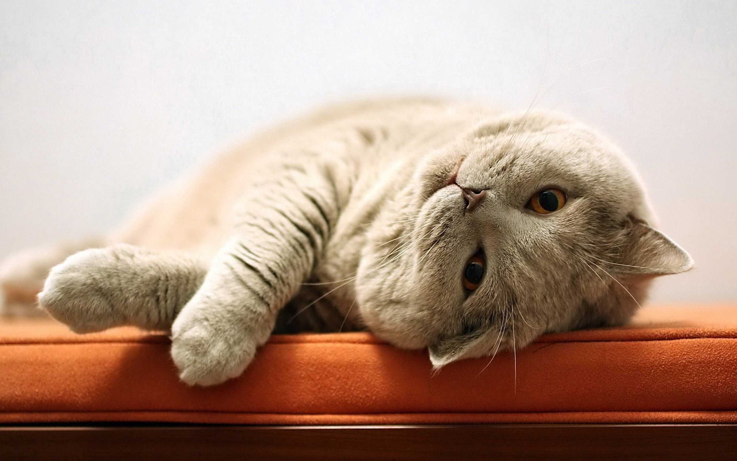 95769 download wallpaper Animals, Cat, Fat, Thick, Playful, To Lie Down, Lie screensavers and pictures for free